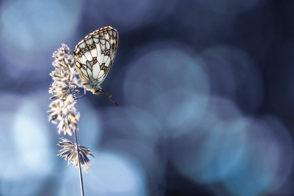 Butterfly Demi deuil by Bmphotographe
