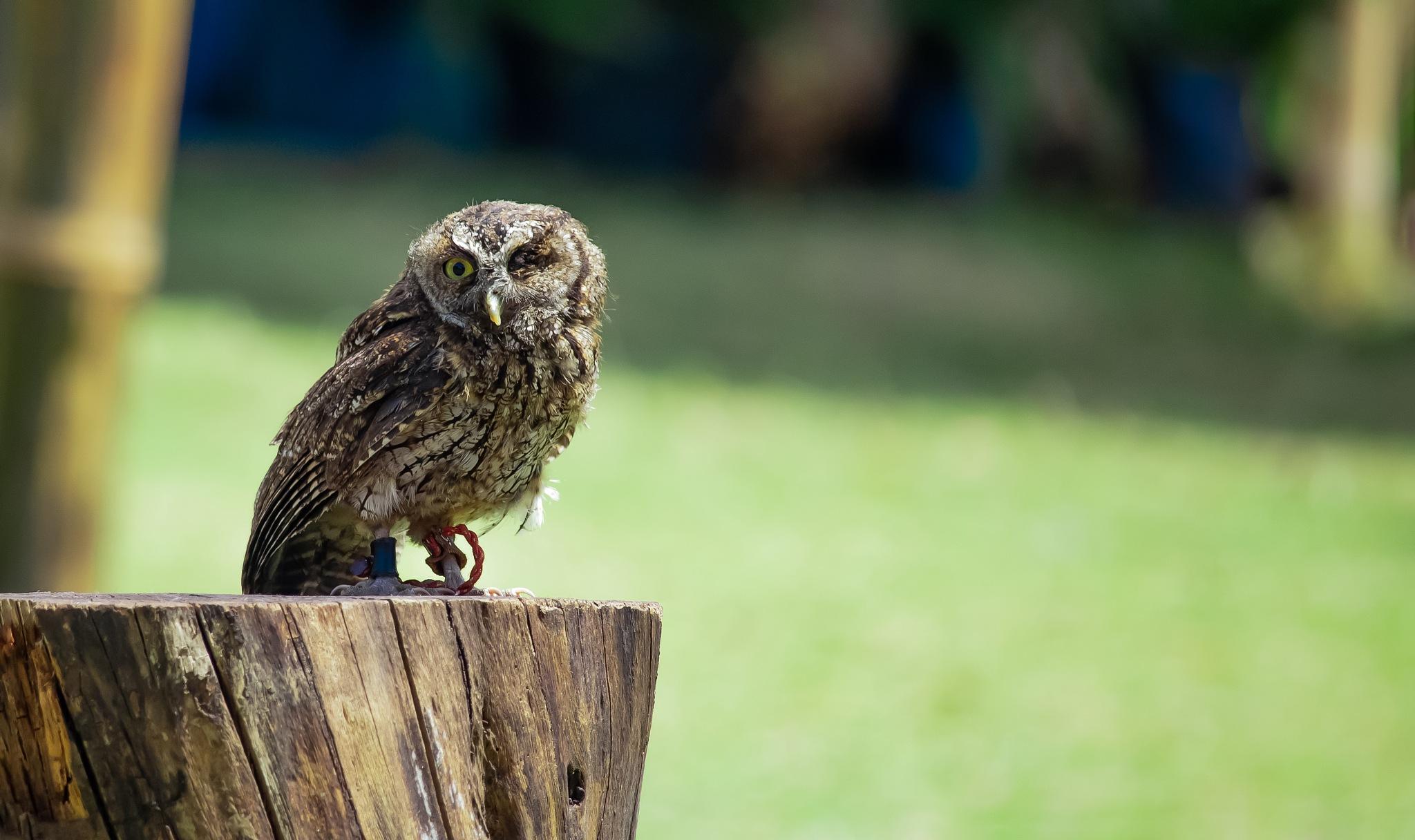 Eyeless Owl by Camilo Idrobo