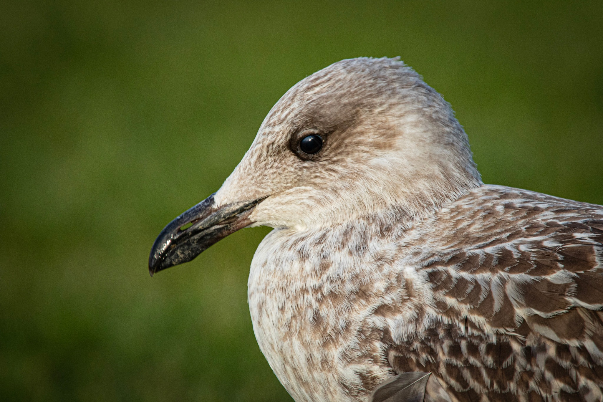 Young Seagull by Tessy S