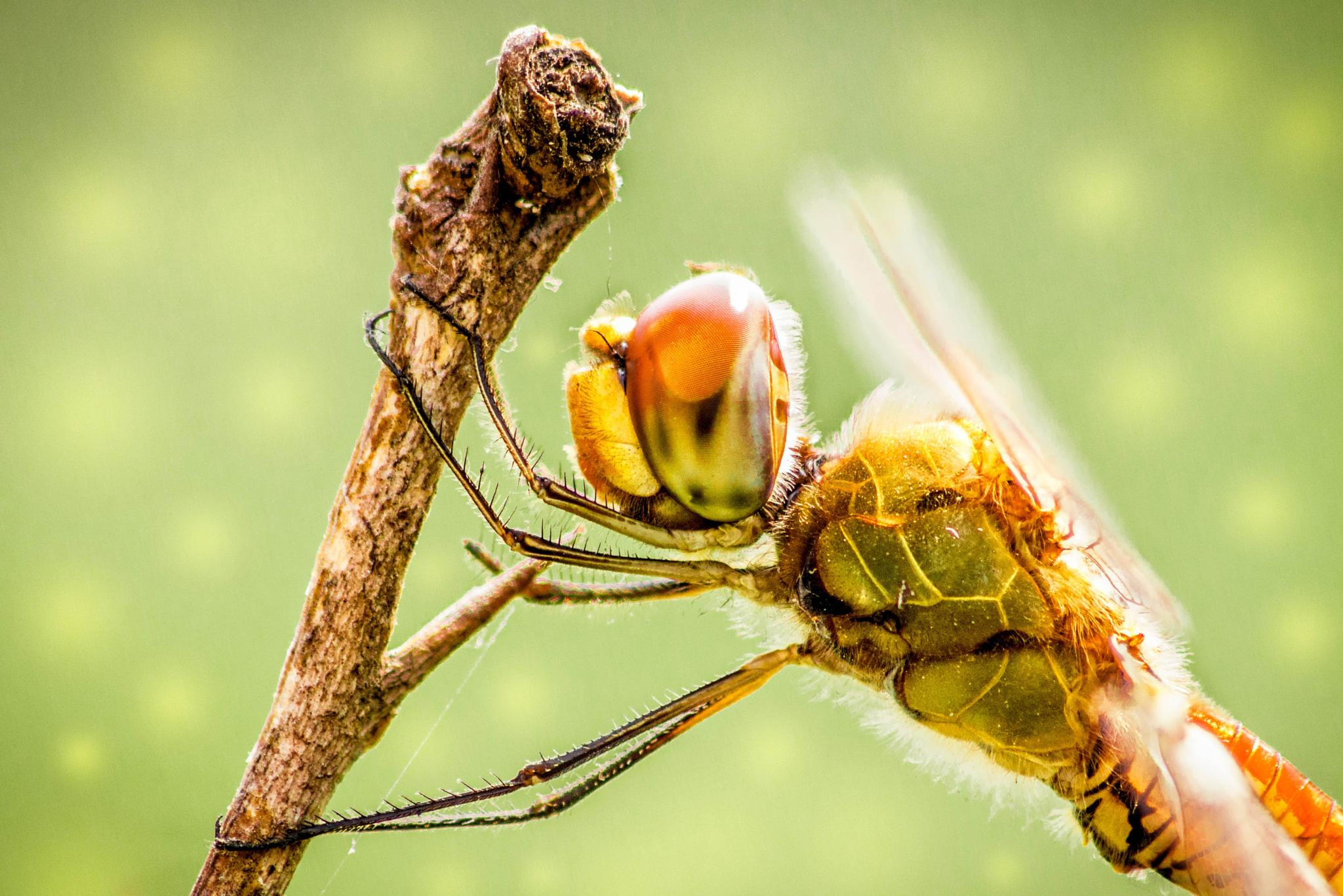 Dragonfly by Titas Ghosh
