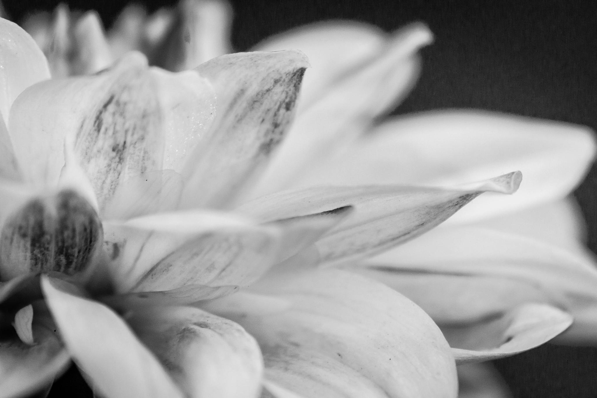 Flower In Monochrome by Titas Ghosh