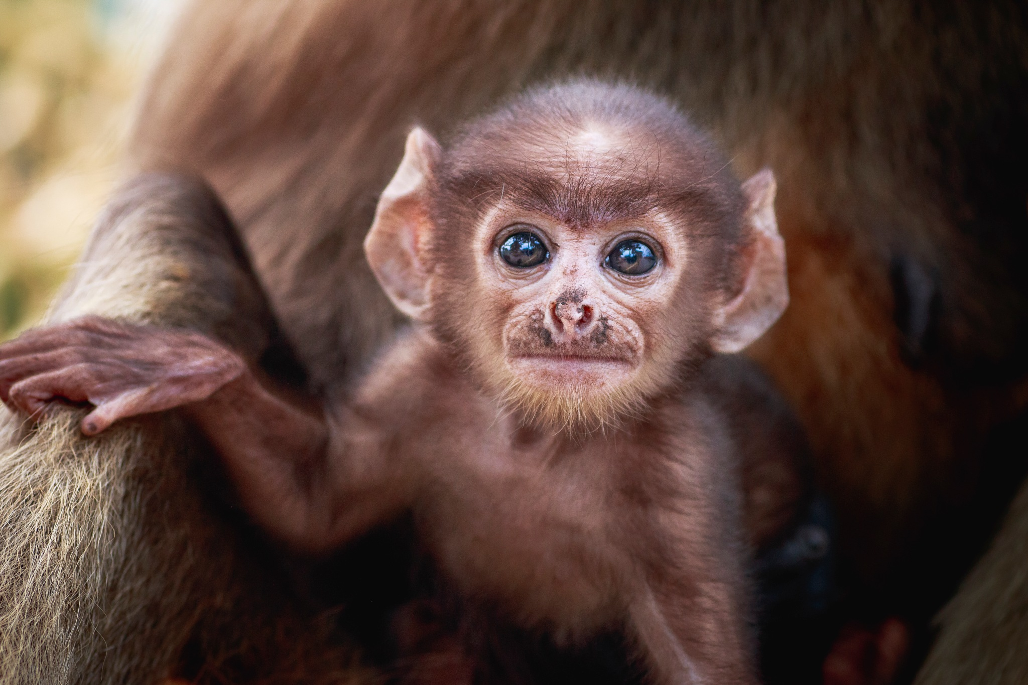 Infant Monkey by Titas Ghosh