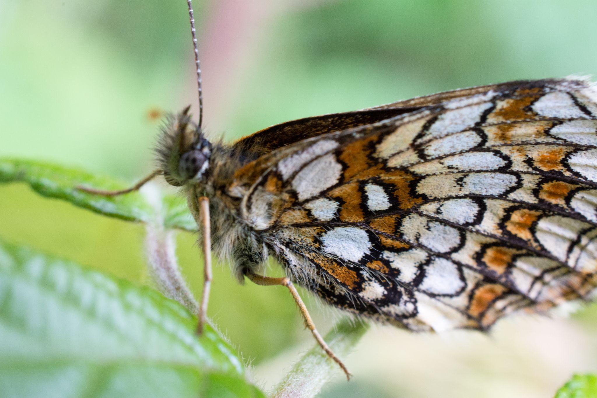 papillon by lupus