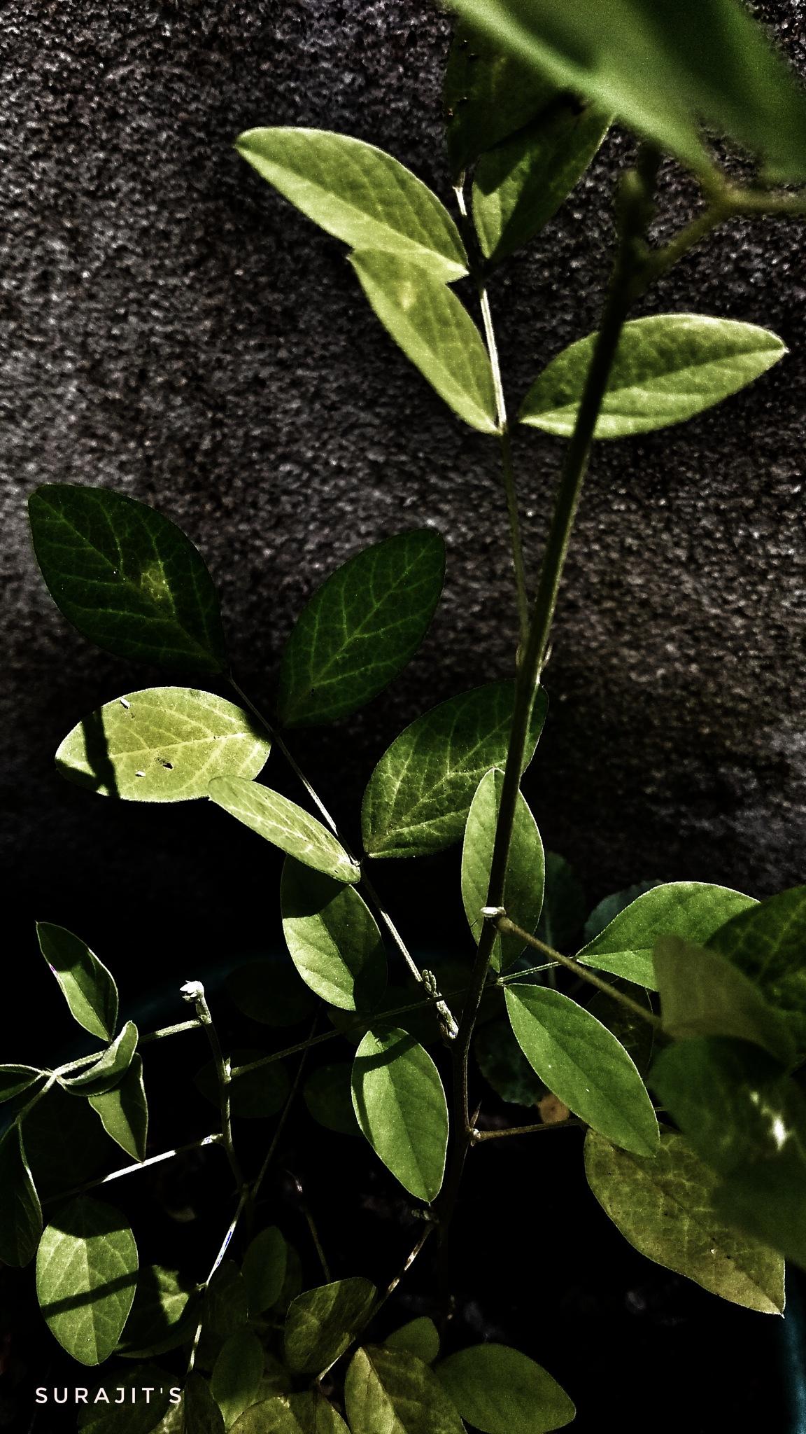 green leaves. by Surajit Bhattacharjee