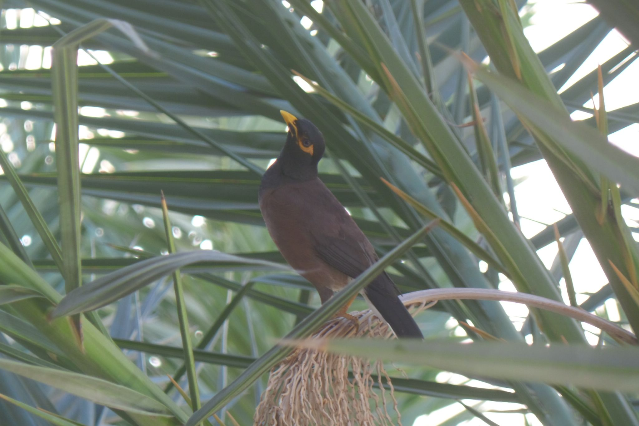 Indian Mynah in Israel -Natanya - 23.6.2014 by Francine Waterman