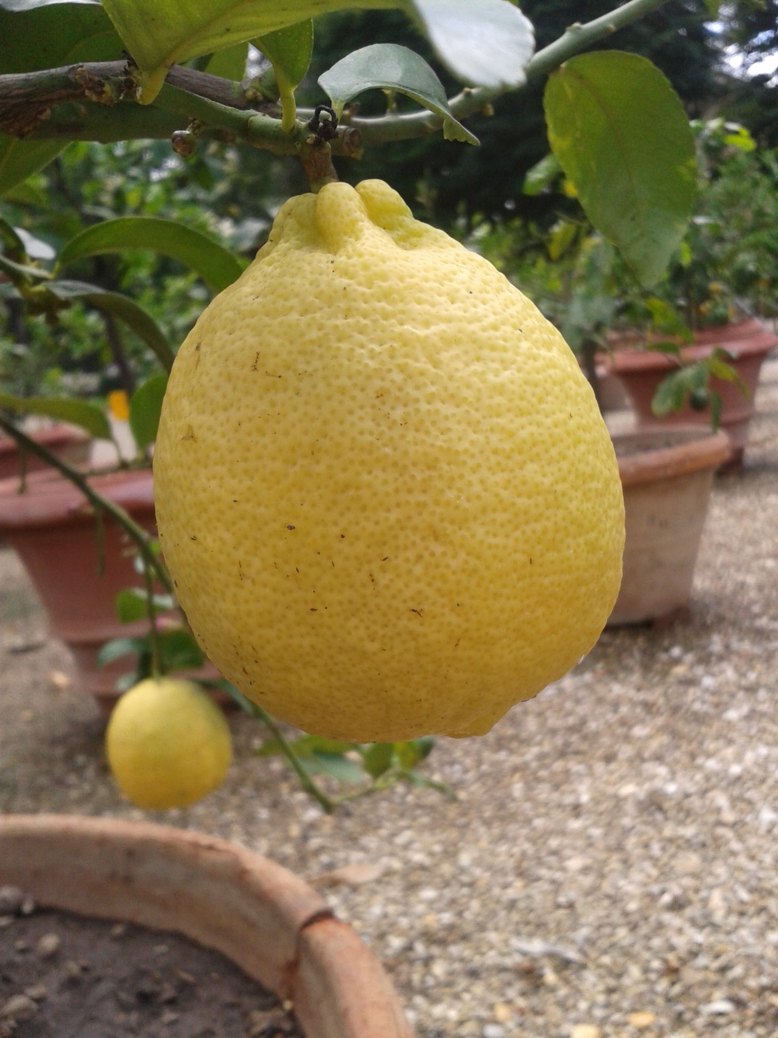 Another lemon - Lemon garden - Palais Pitti  - Florence by Francine Waterman