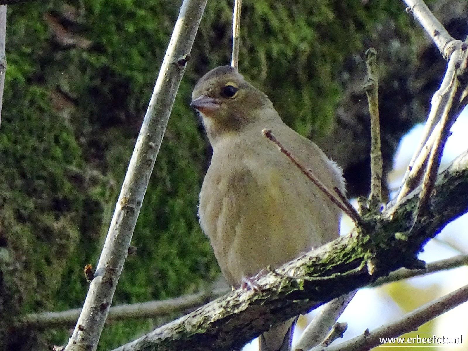 Nightingale, Mensinge Woods, Roden by ErBeeFoto