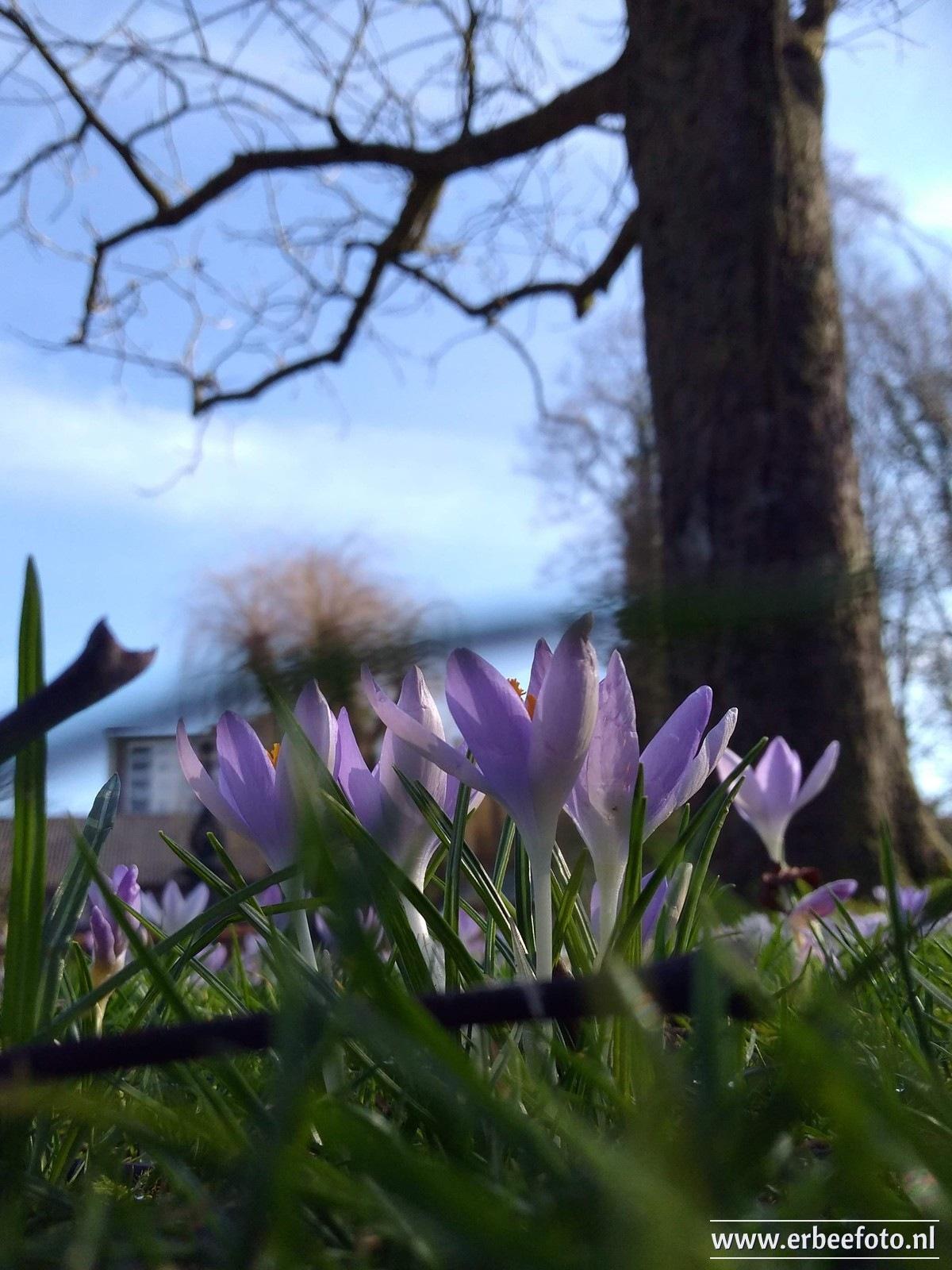 Photo in Street Photography #crocuses #crocus #krokus #spring #springtime #flowers #field #tree #iris #purple