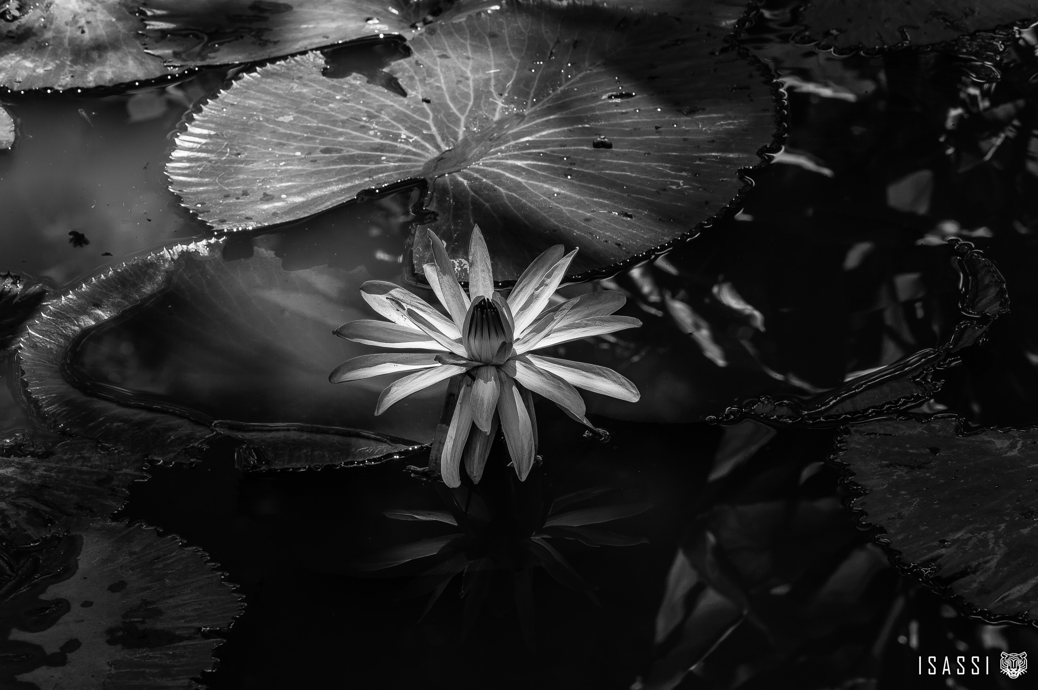 The secret of the Lotus flower. by Isassi