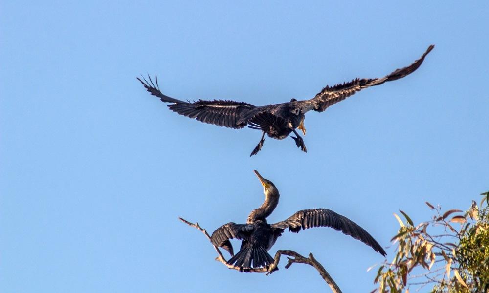 cormorant by SAIDI Ismail