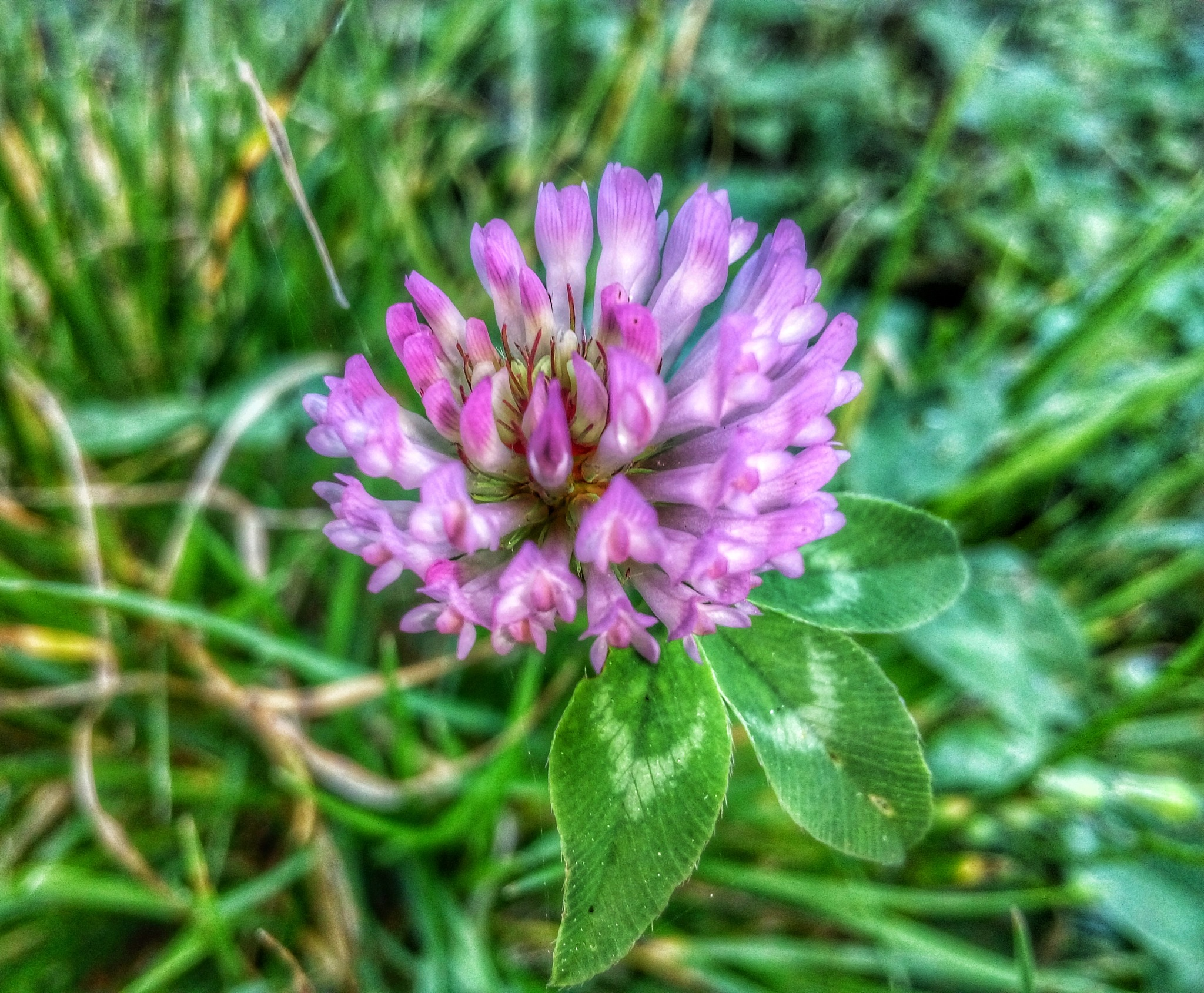 Clover bloom  by SanjaPhotography85