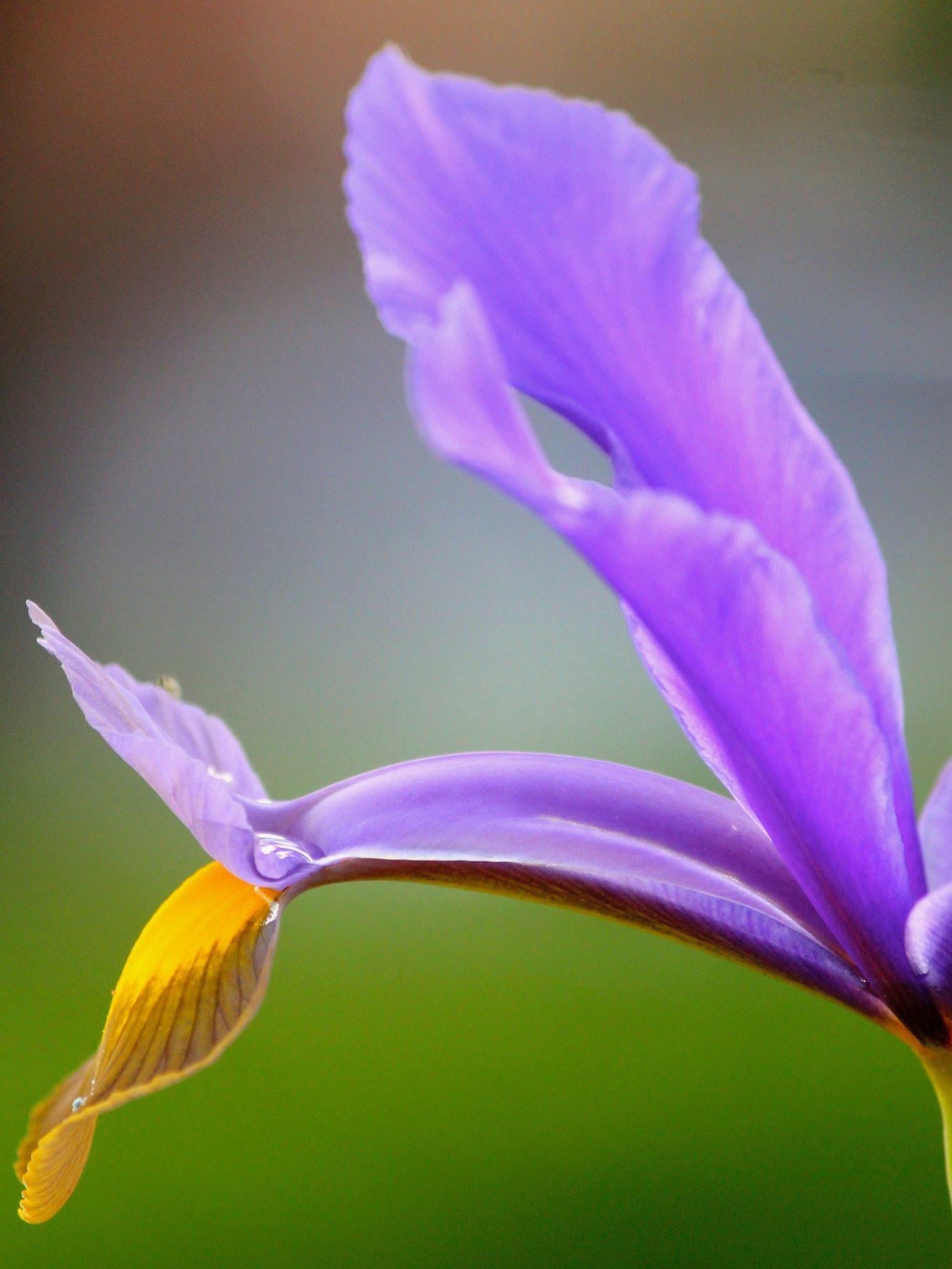 Purple flower by Ilse Ravestyn