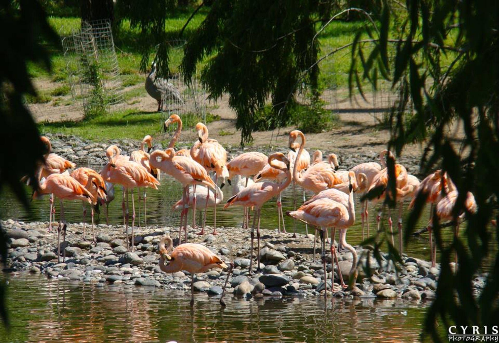 Flamingos by cyrisphotograph