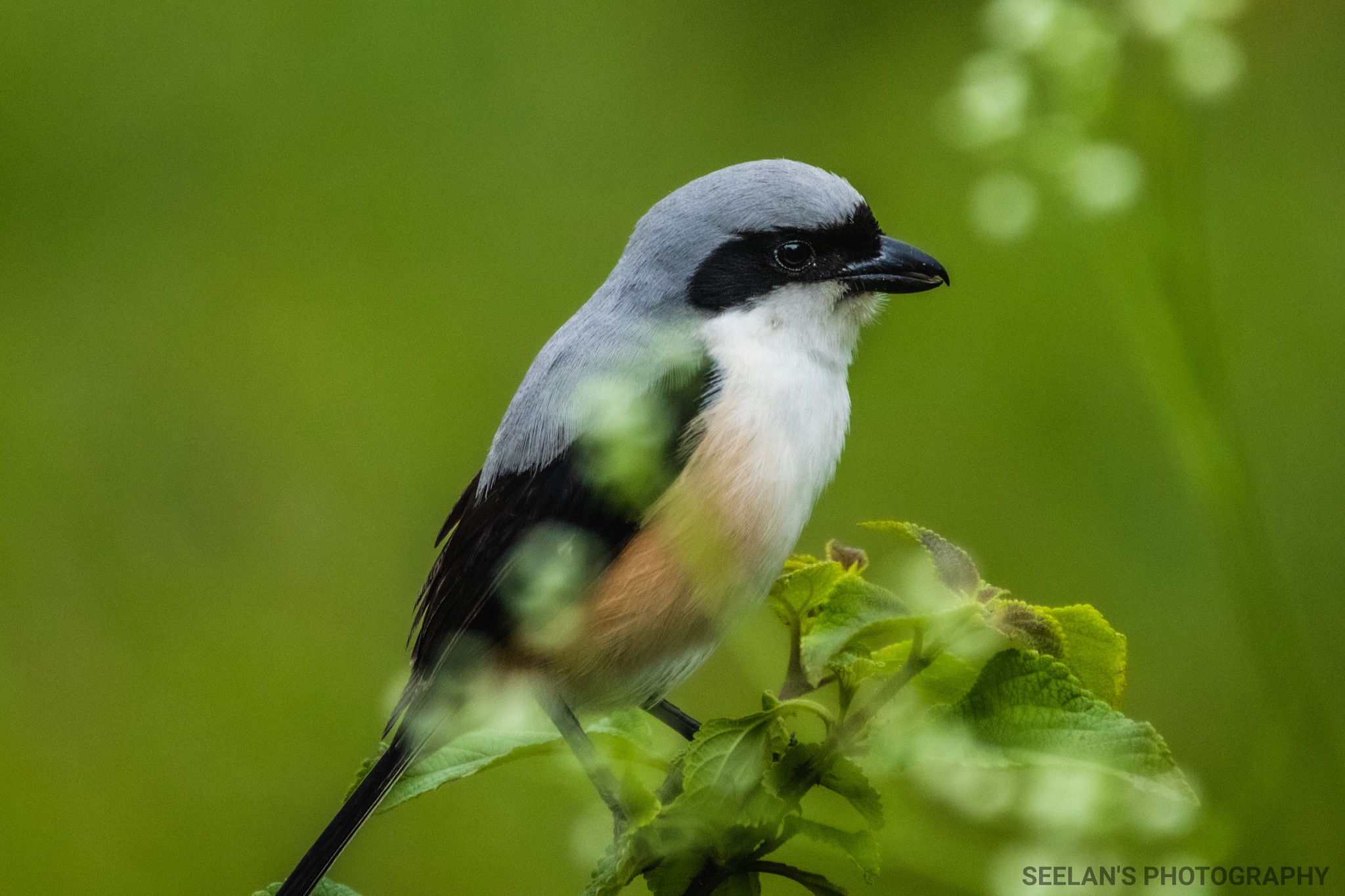 Long tailed shrike by   SATHIYASEELAN