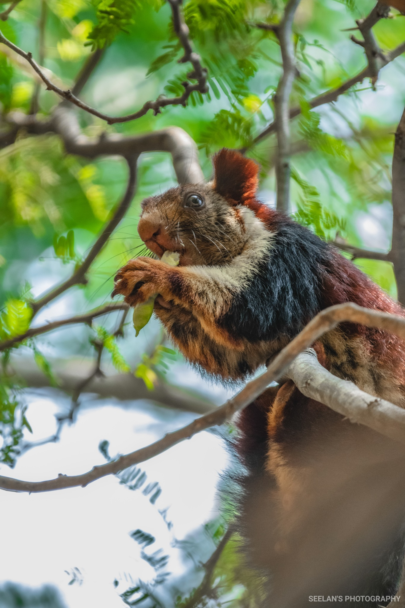 Giant Indian squirrel by   SATHIYASEELAN