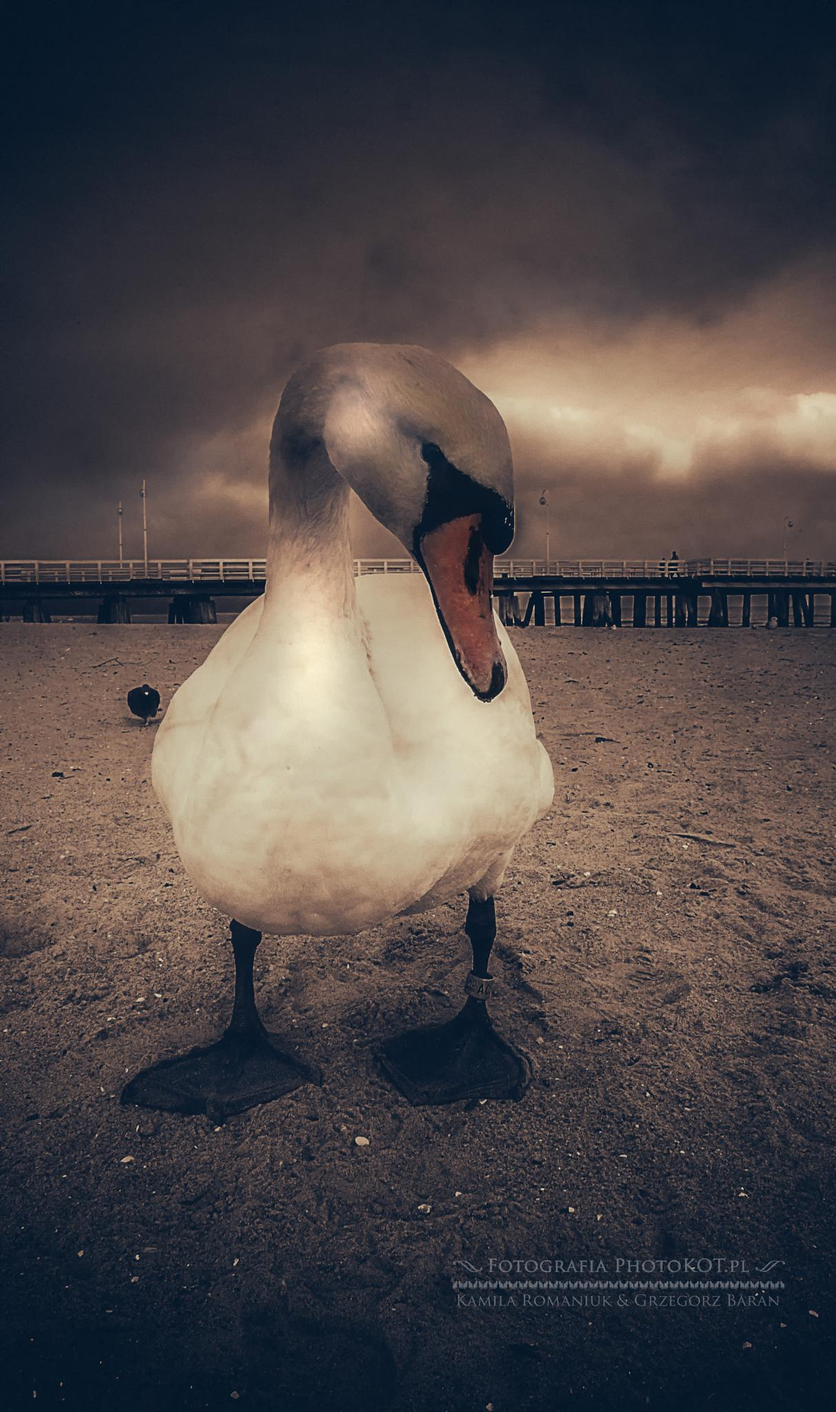 swan by Grzegorz Baran