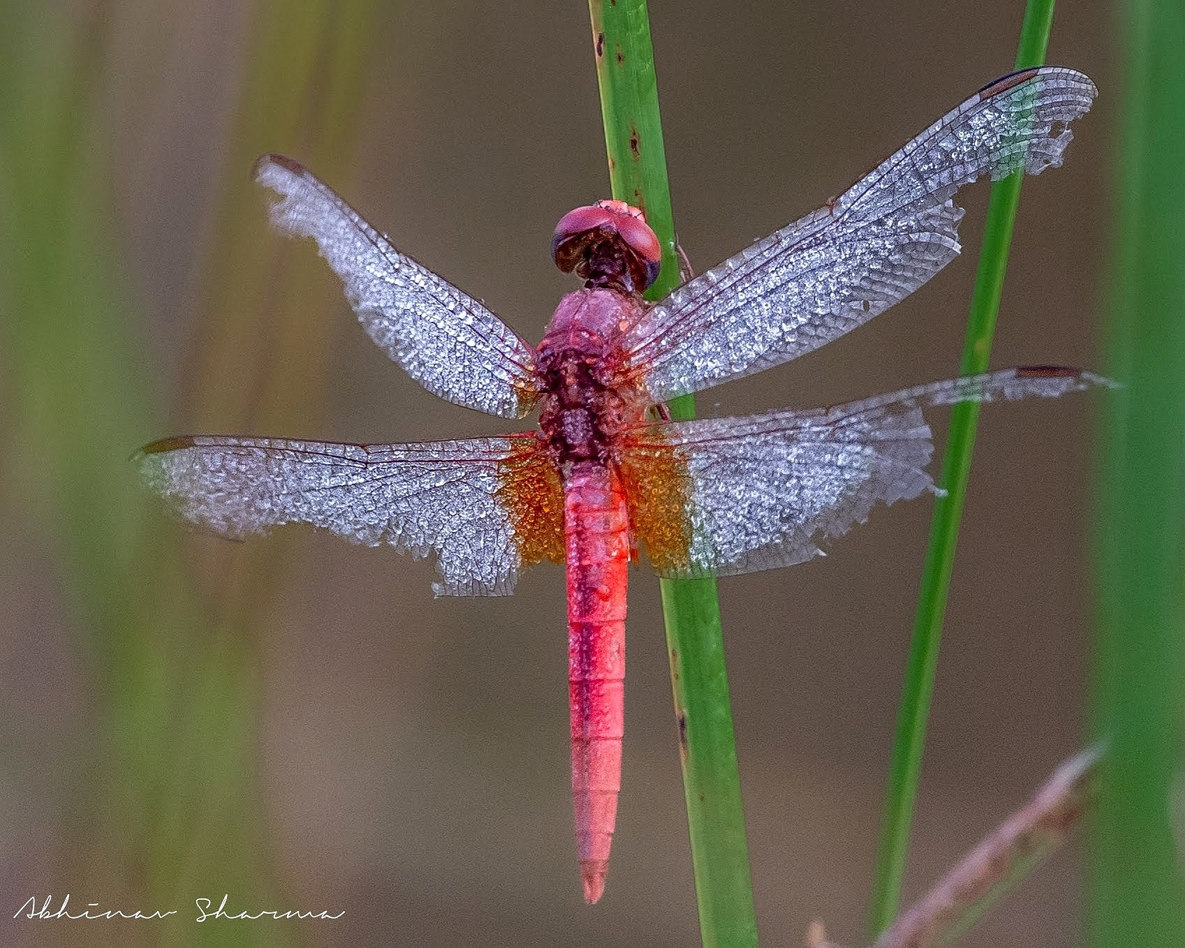 early morning dragonfly by Abhinav sharma
