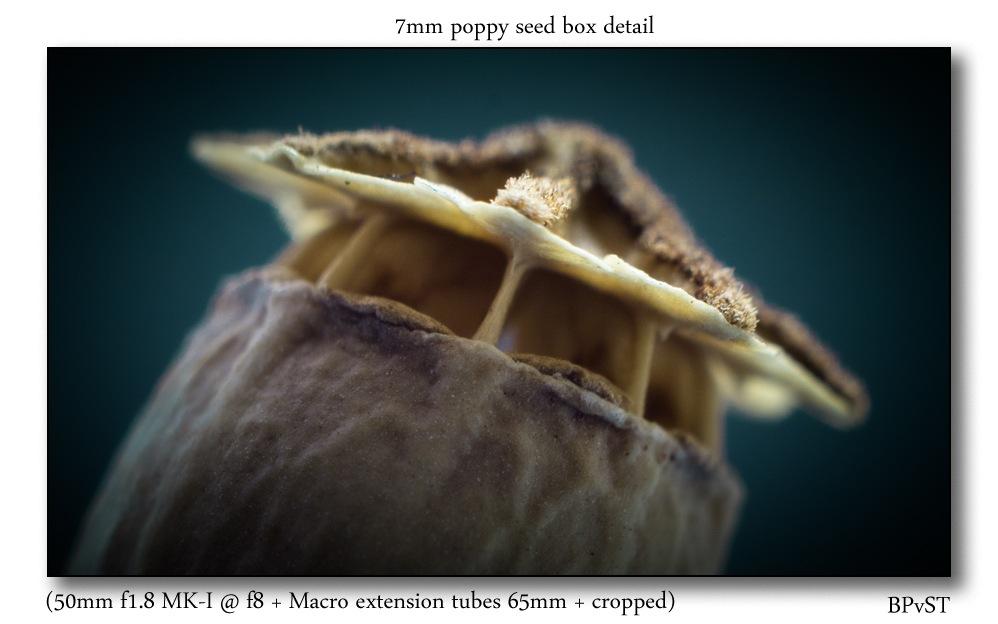 Photo in Macro #poppy