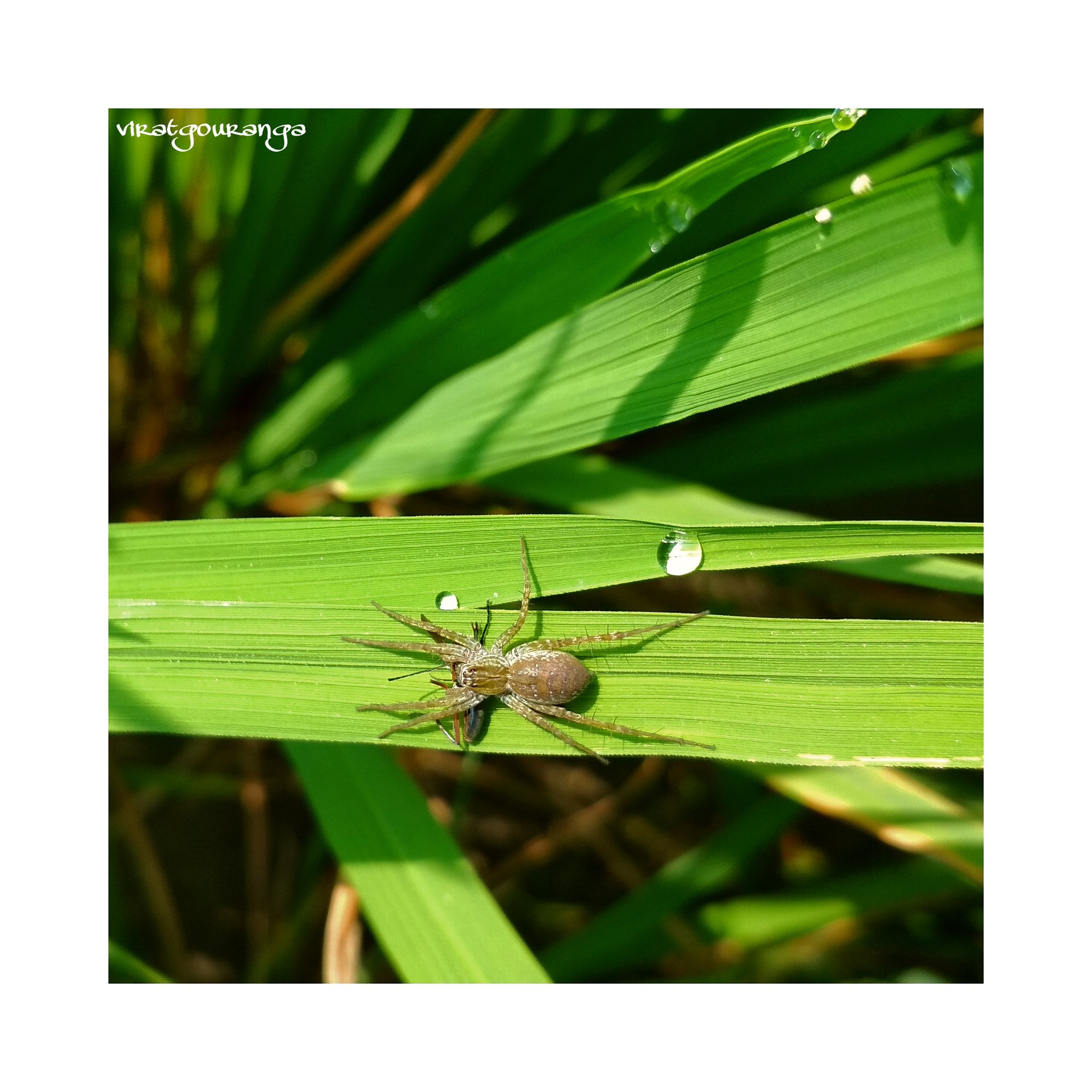 Spider eating by Gouranga Ghosh
