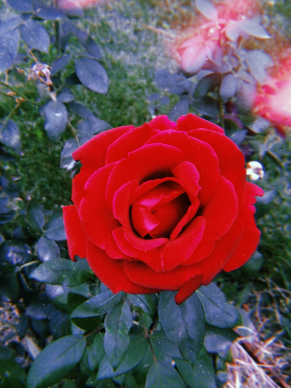 red rose by DenizOner