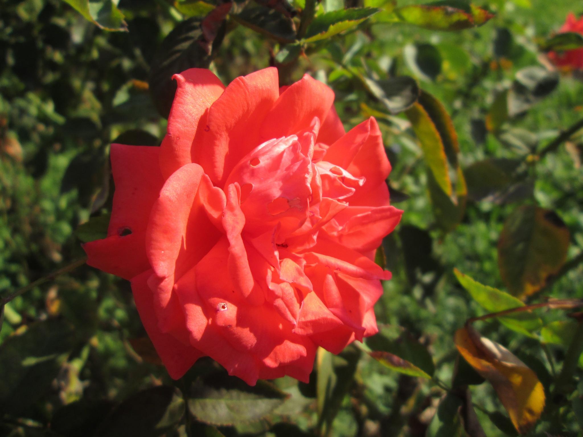 Ruža by Lovorka Sadout