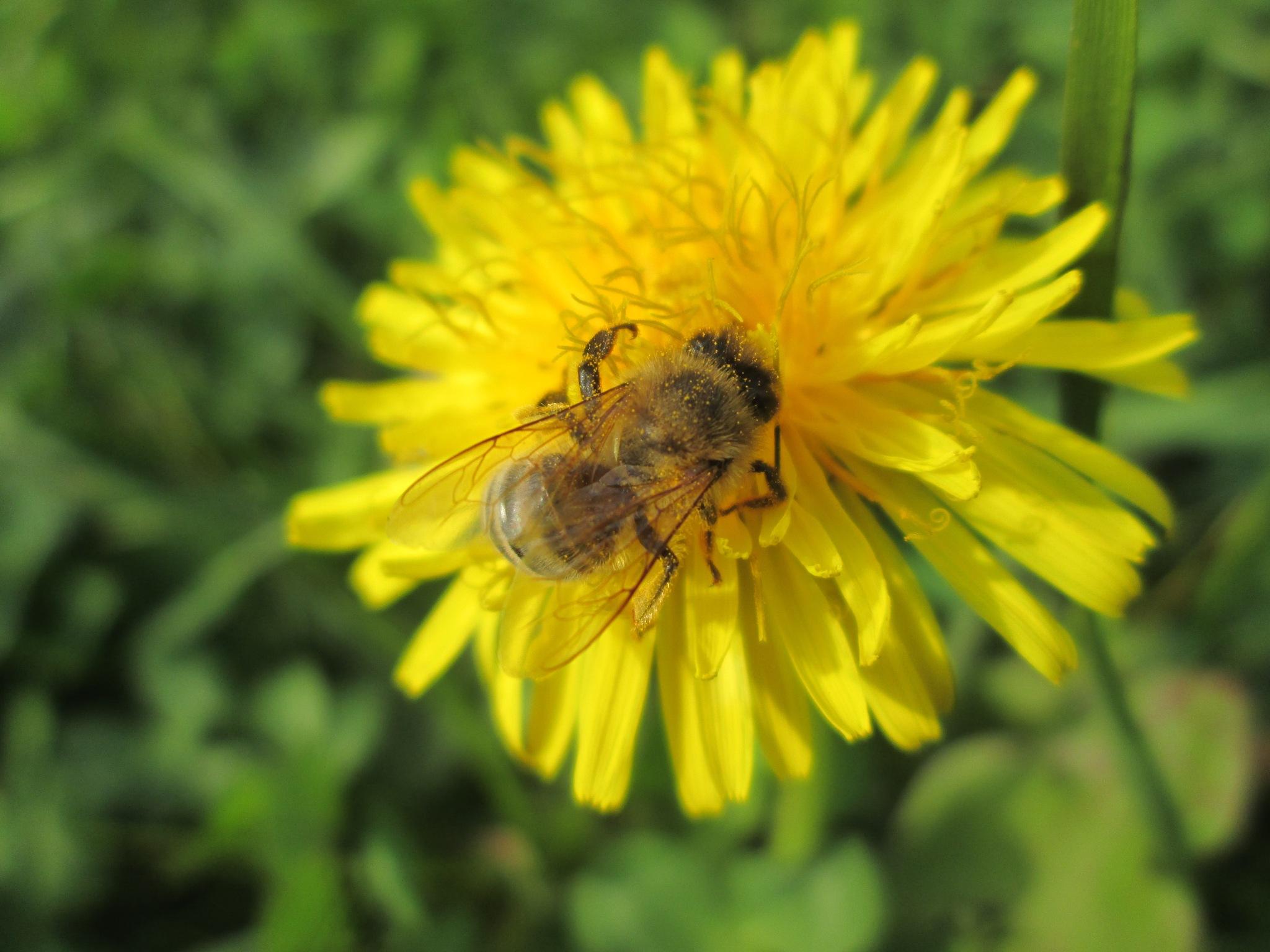 Cvijet maslačka by Lovorka Sadout