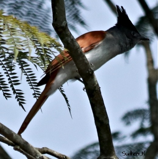 Who's that - Paradise flycatcher by Sudheer Madhurakavi