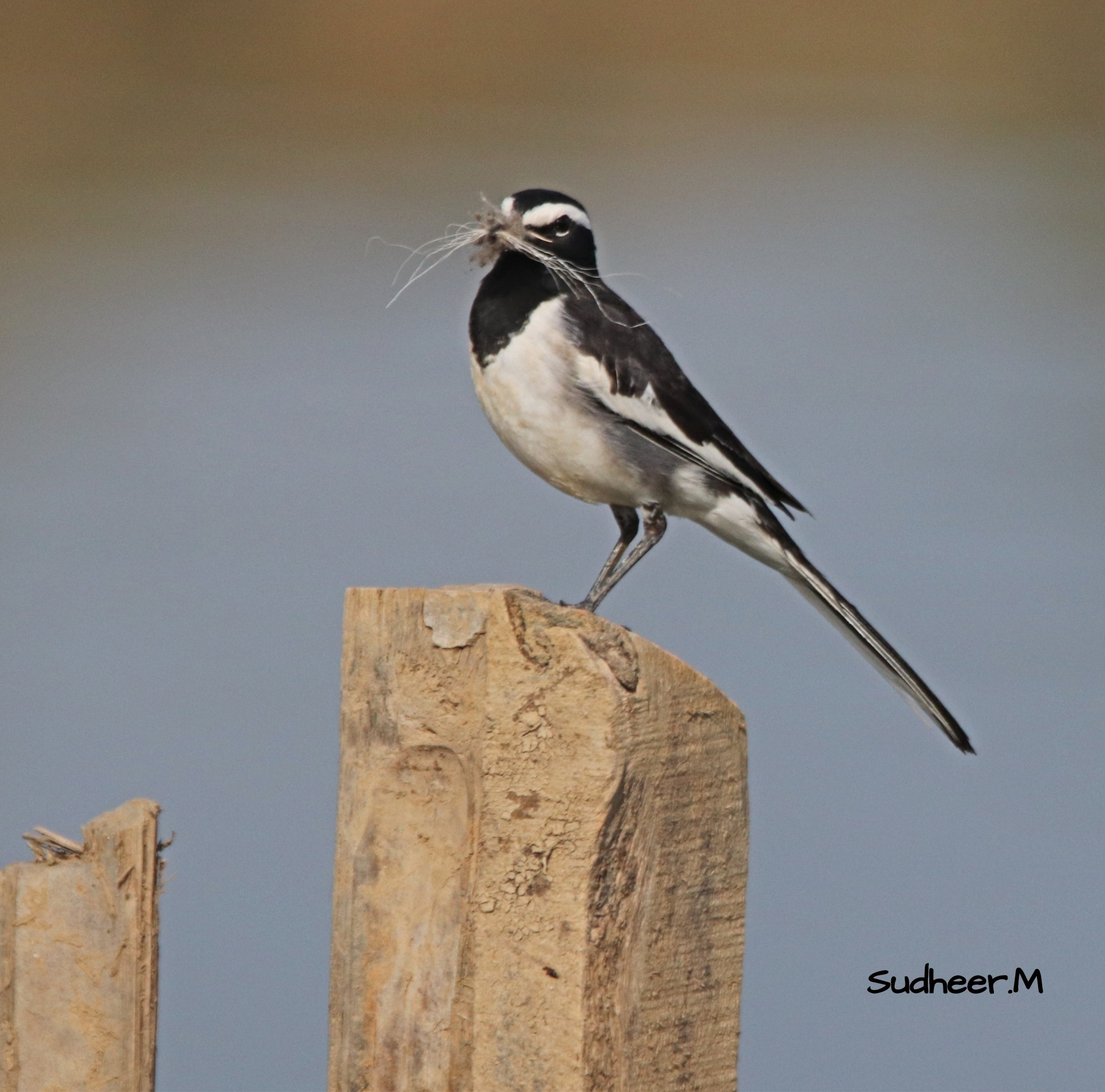 Courier service - White Browed Wagtail. by Sudheer Madhurakavi