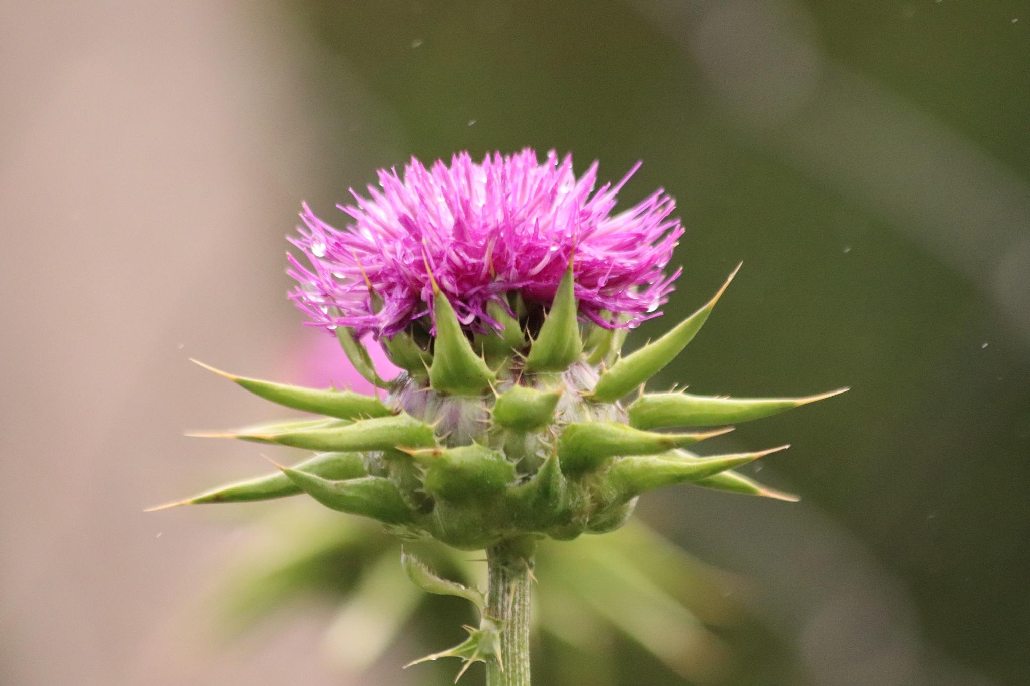 Beautiful flower  by Sudheer Madhurakavi