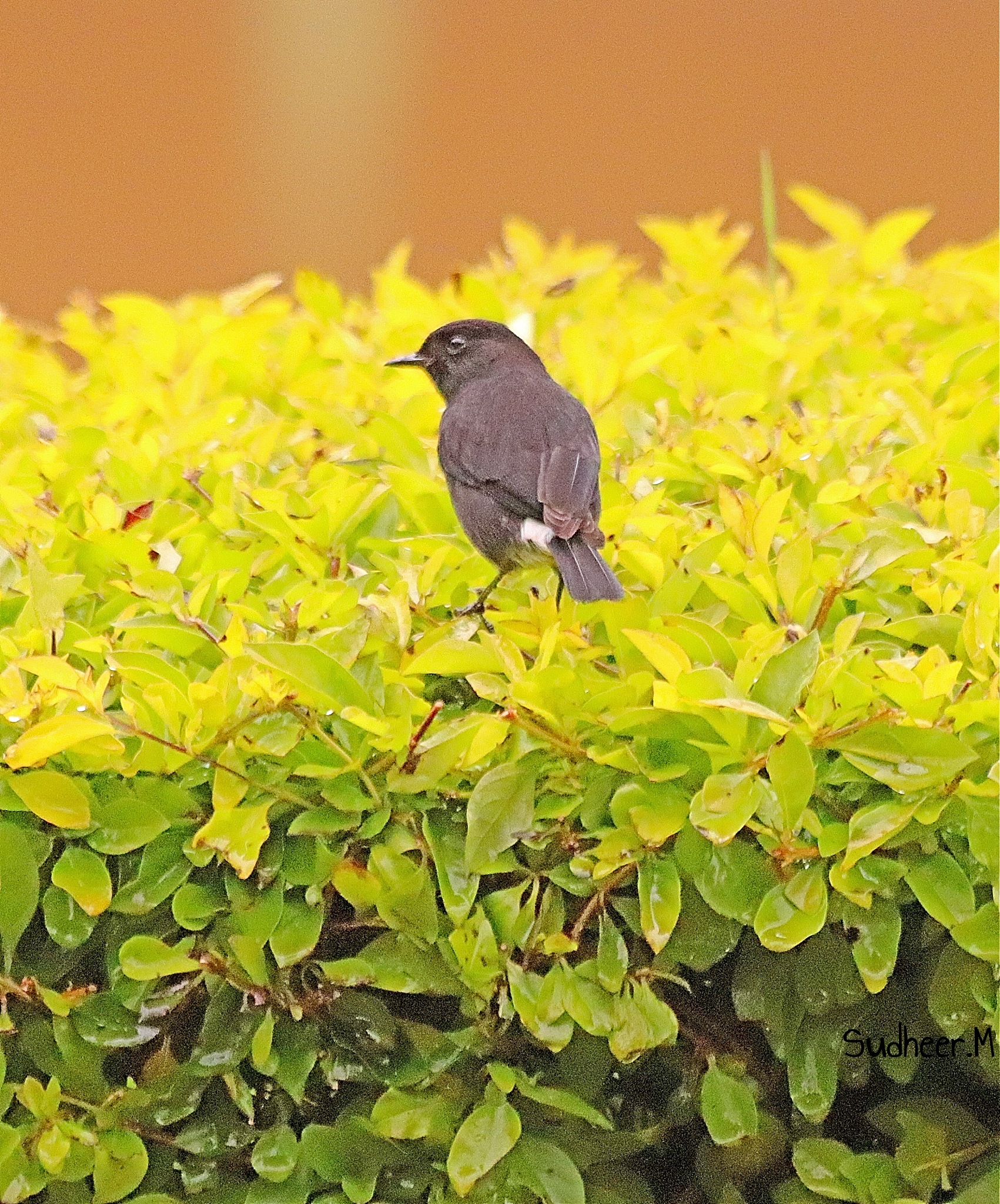 chilling out-- Pied bush chat  by Sudheer Madhurakavi
