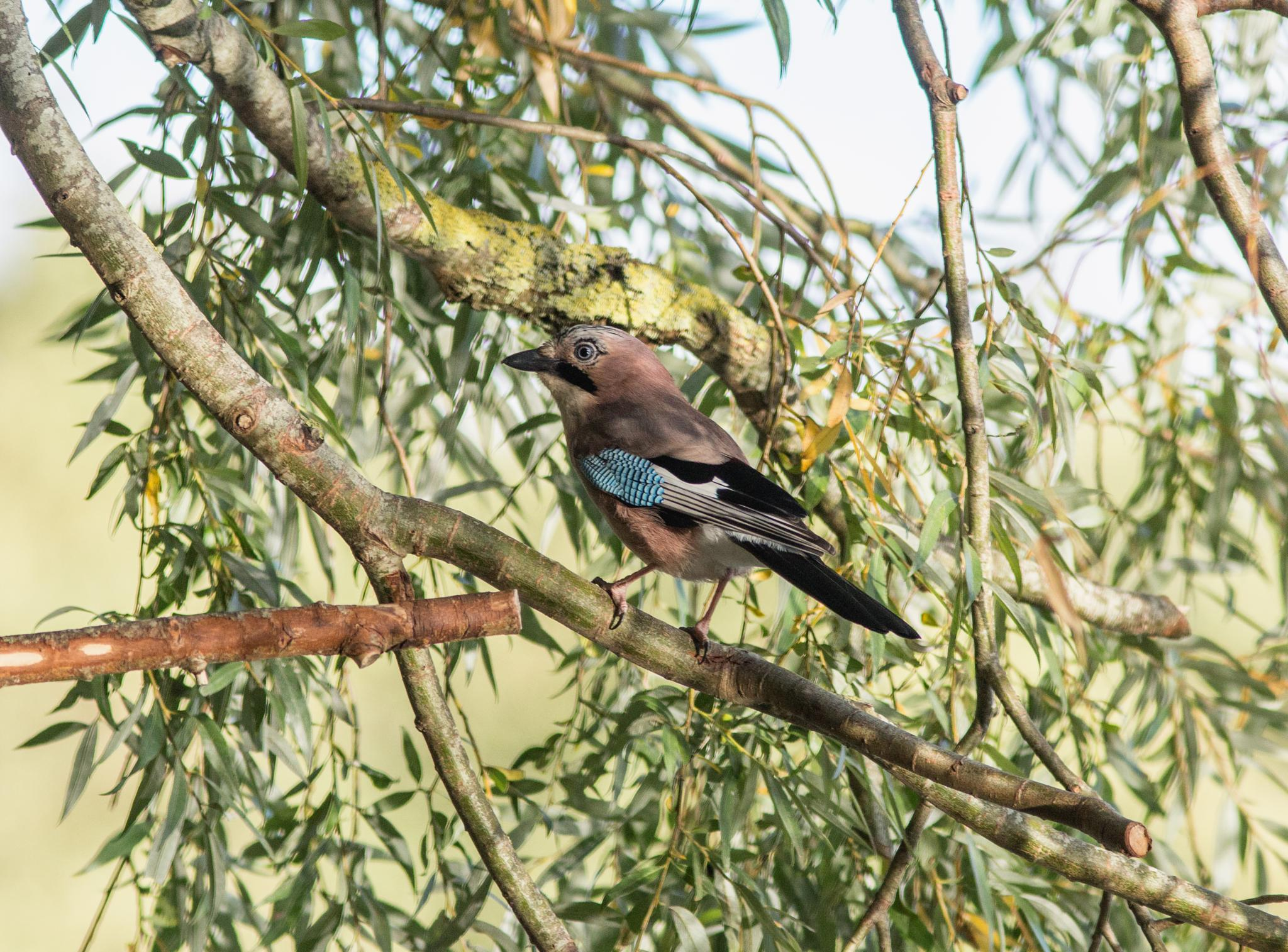 Jay by Philip Cooper