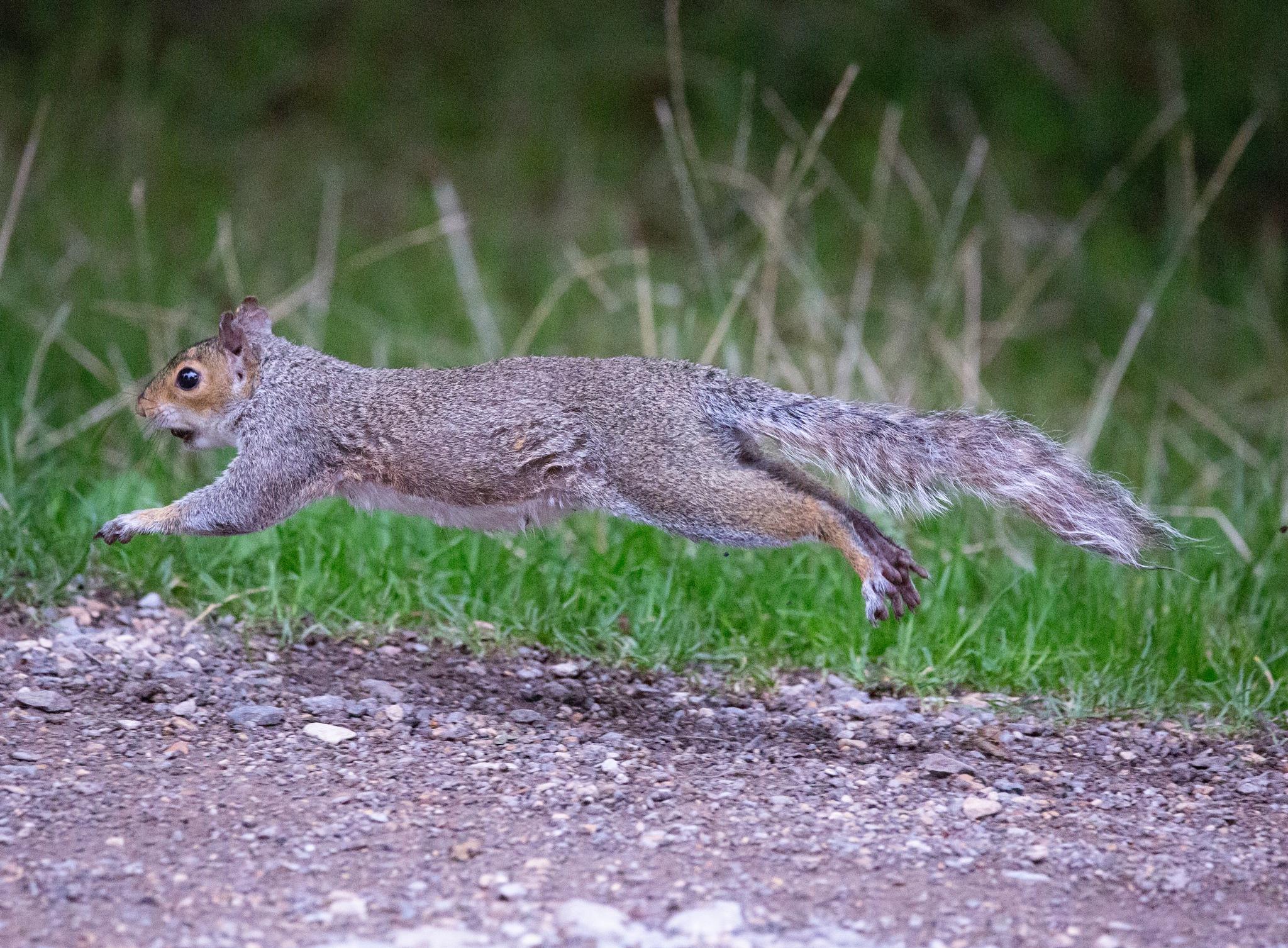 Grey Squirrel by Philip Cooper