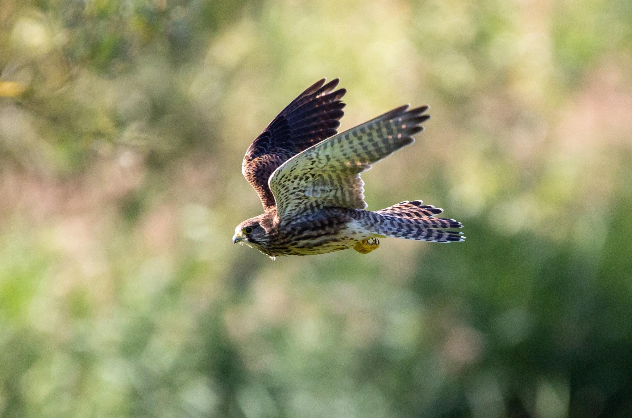 Sparrow Hawk by Philip Cooper