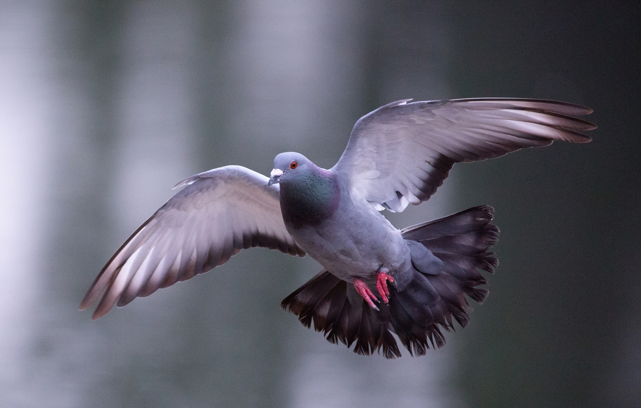 Pigeon by Philip Cooper
