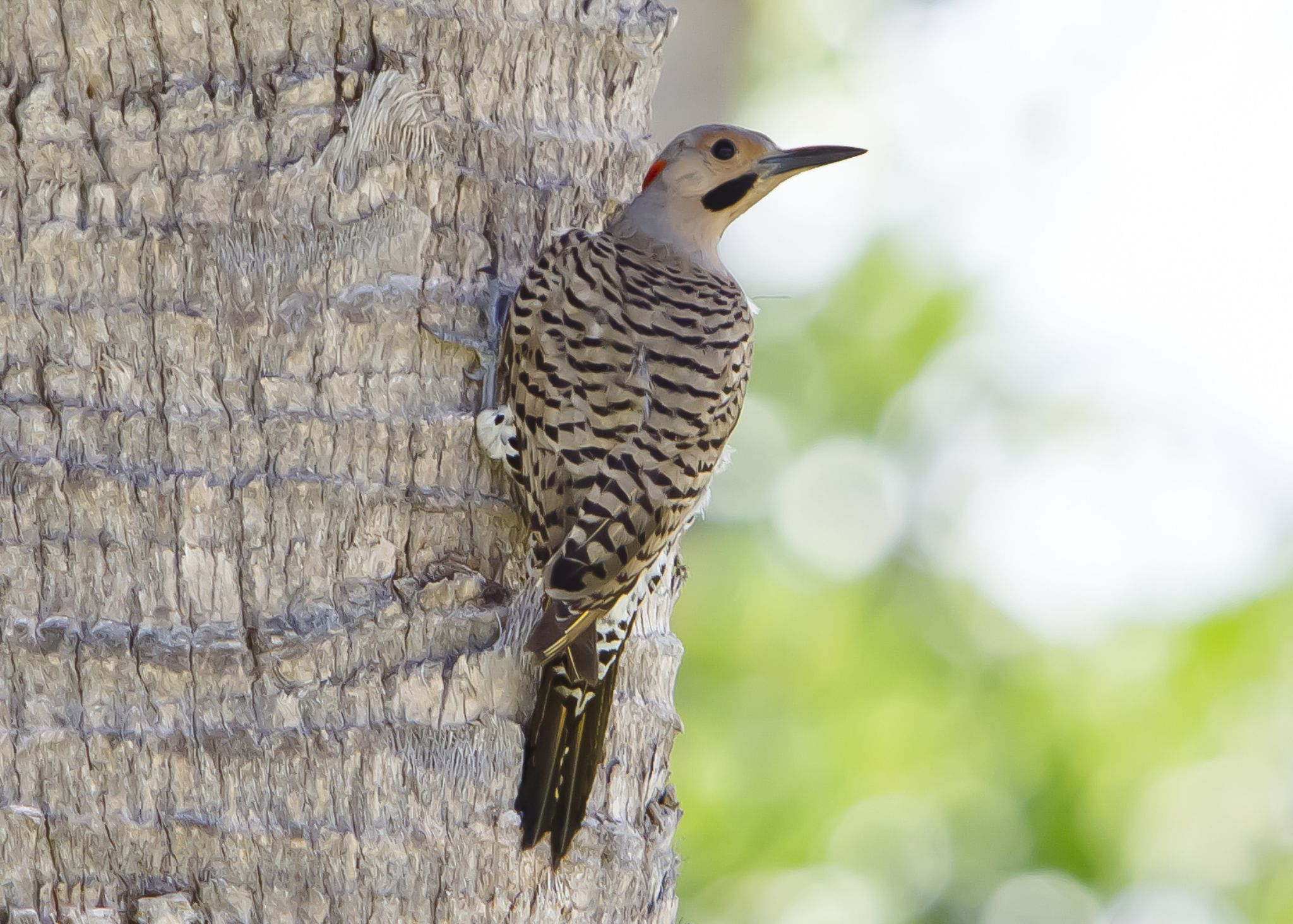 Northern Flicker  by Florida Keys Photography