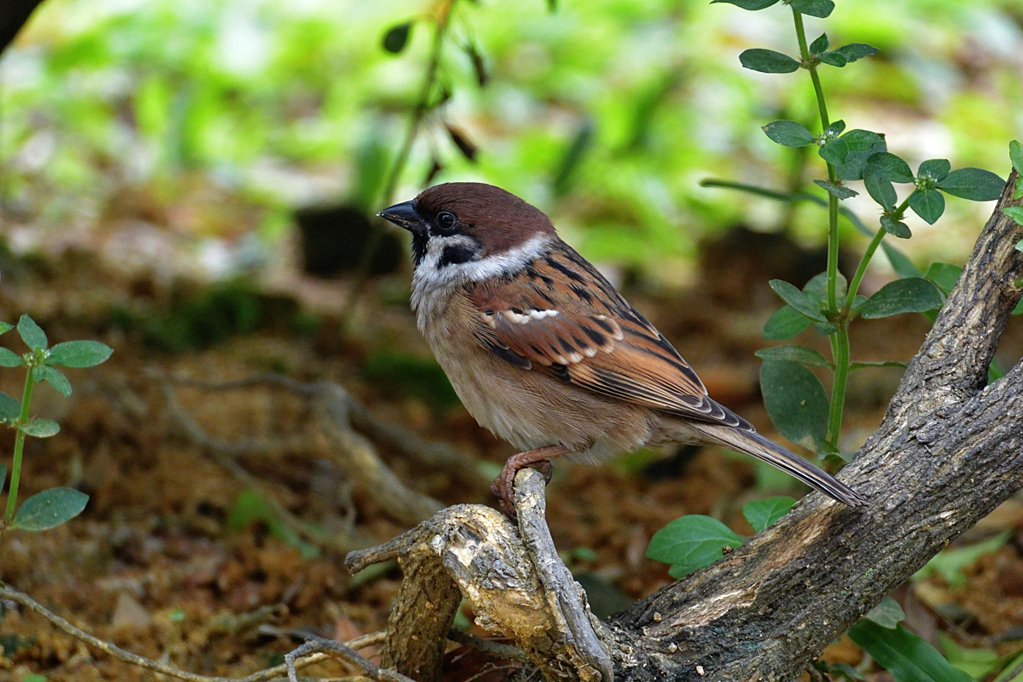 Eurasian Tree Sparrow by Adrian Gopal