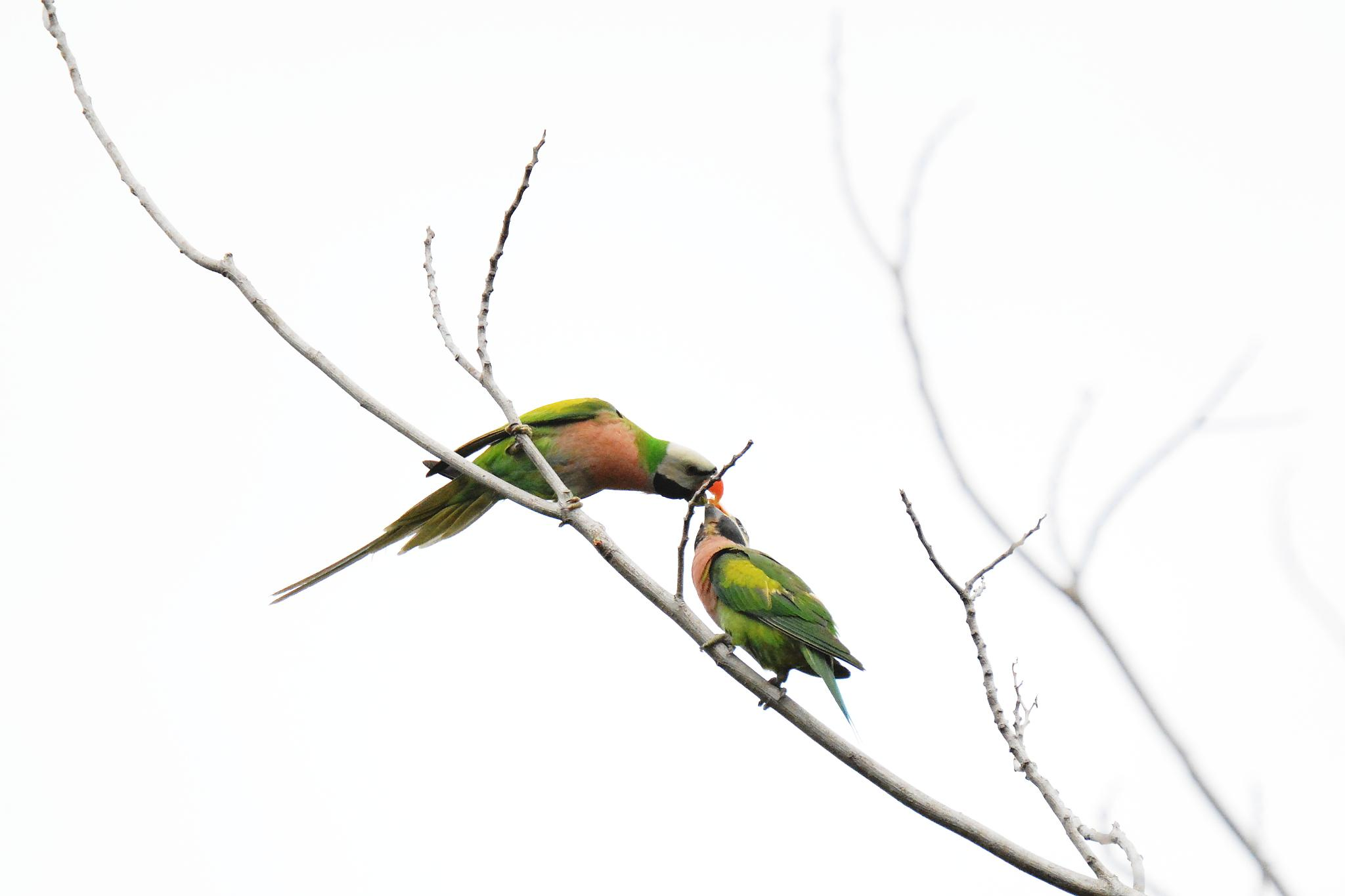 red-breasted parakeets (Psittacula alexandri) by Adrian Gopal