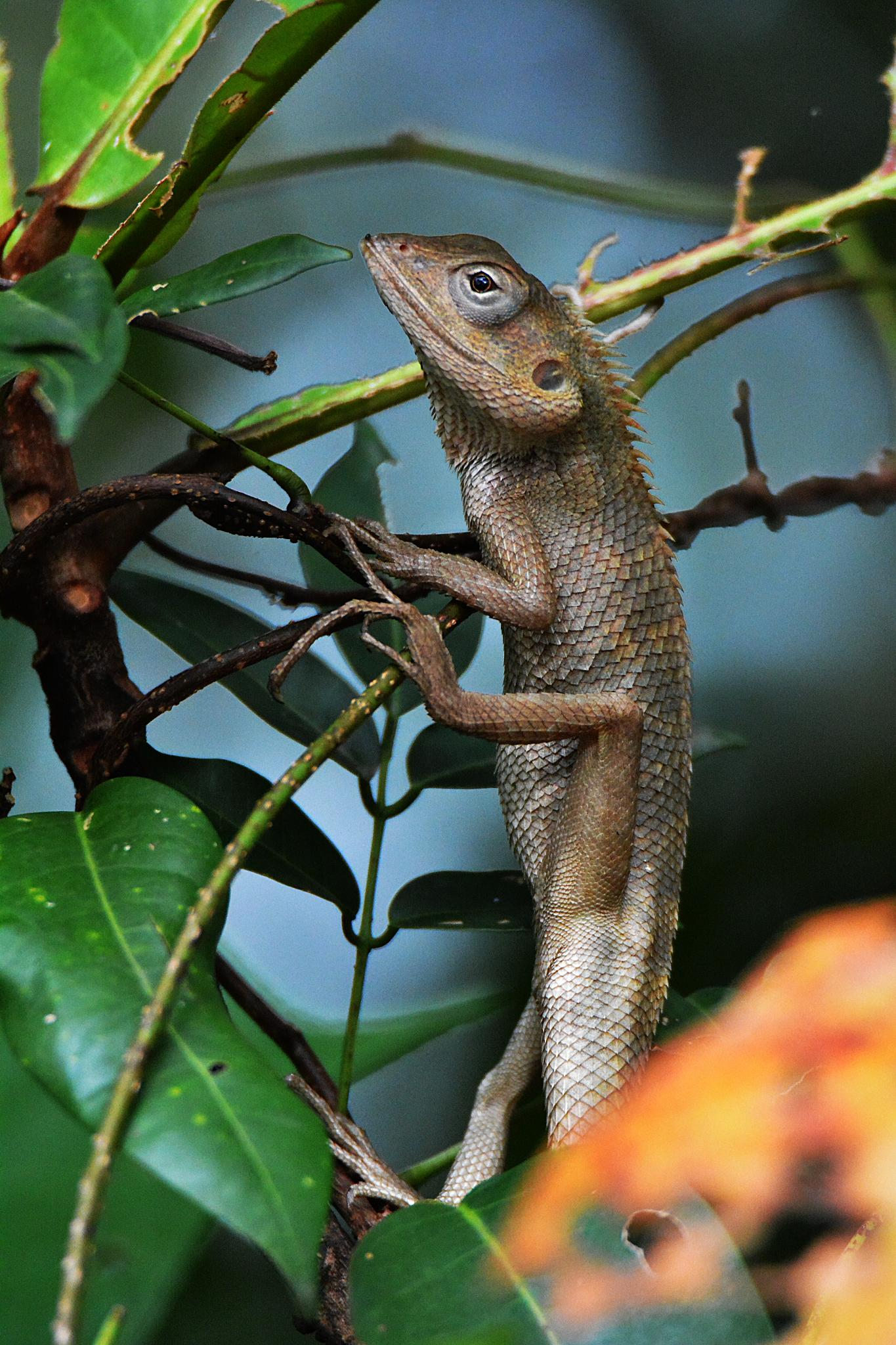 Changeable Lizard (Calotes versicolor) by Adrian Gopal
