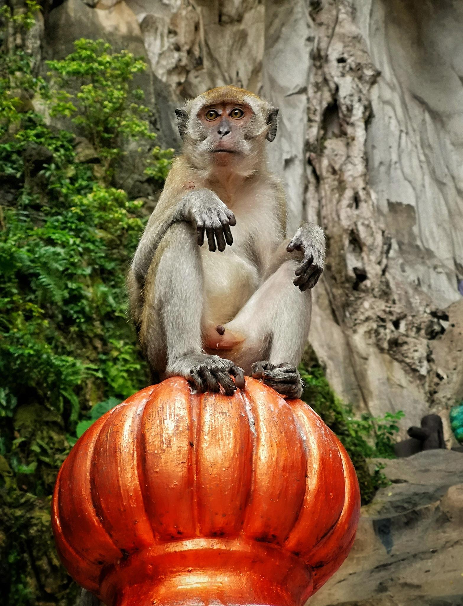 gurdian monkey by hamdanisportiva