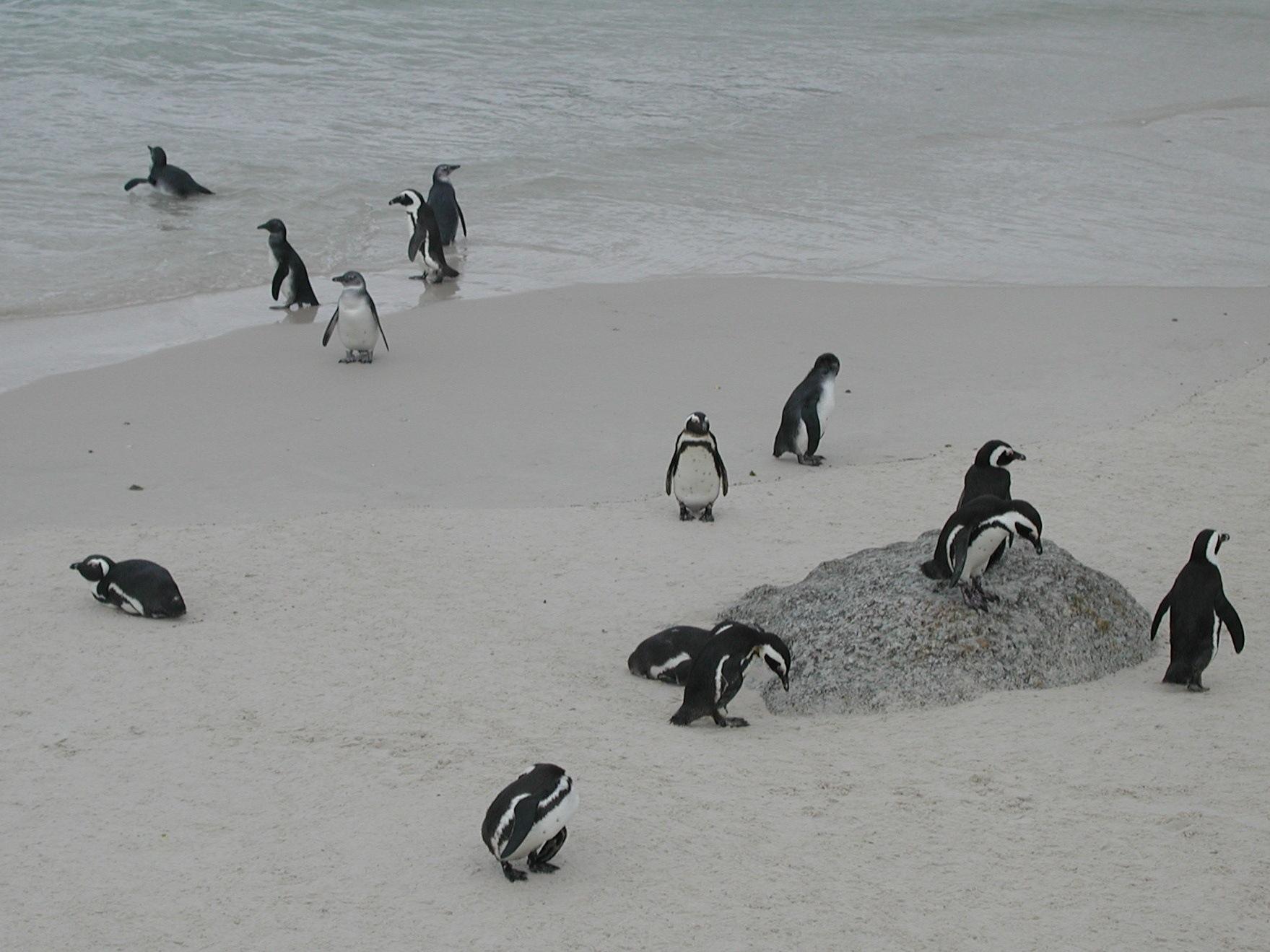 Photo in Animal #penguin #rsa #bird #beach