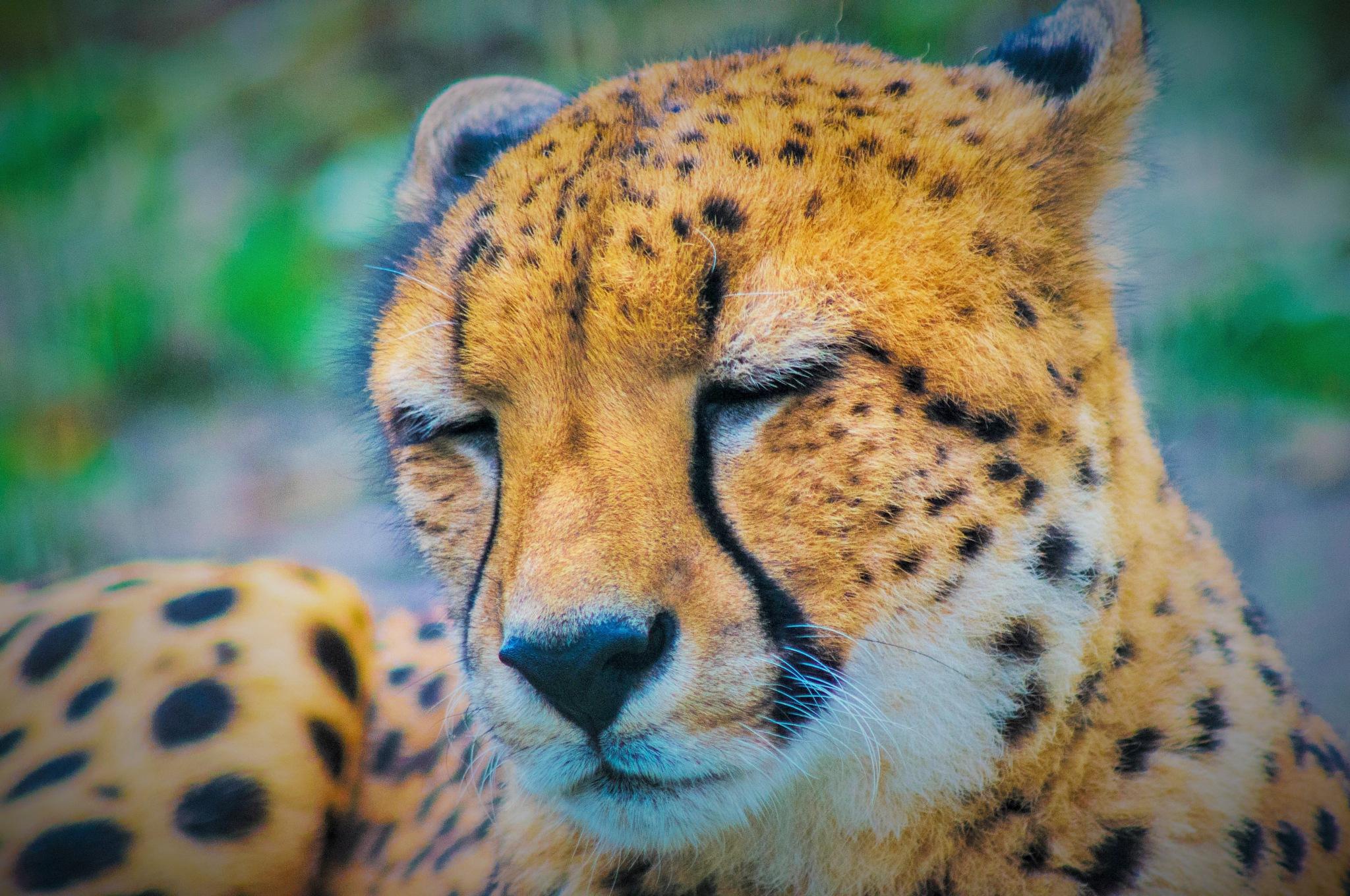When a man wants to murder a tiger, he calls it sport; when the tiger wants to murder him, h by Rafał GIERCZAK  ©