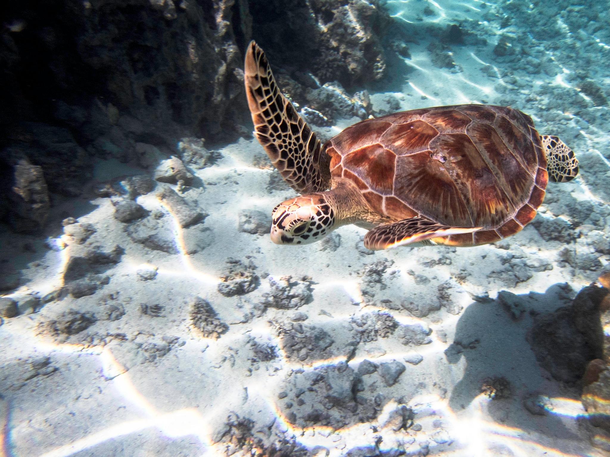Bora Bora Sea Turtle by Michelle Holiman