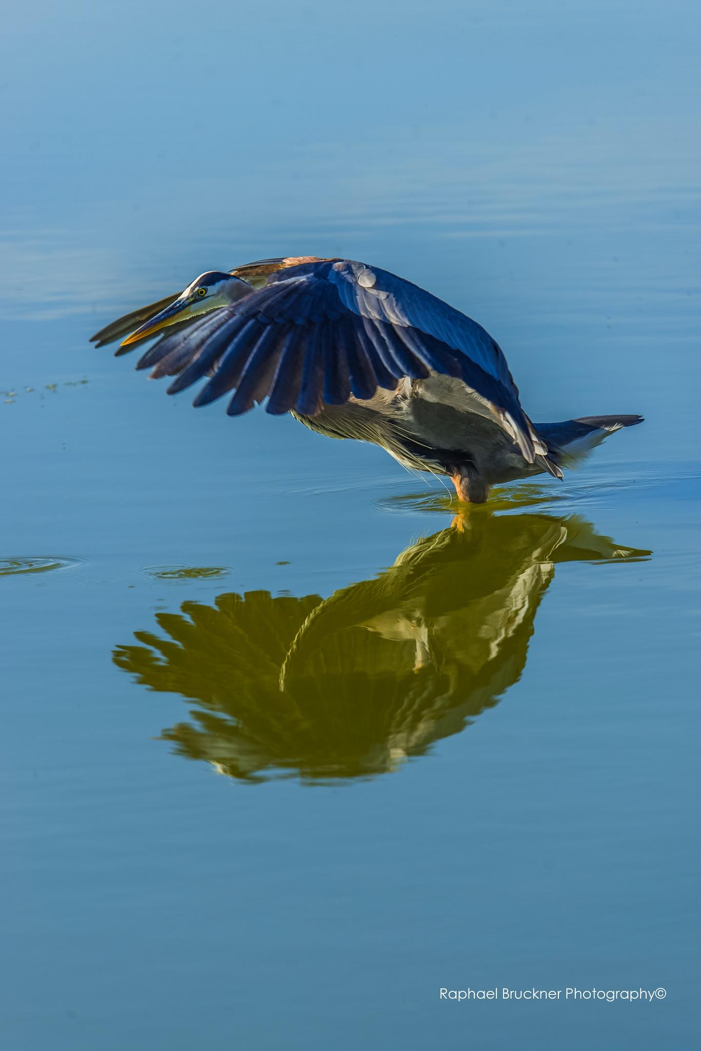 The Blue Egret Dance by Raphael Bruckner Photography