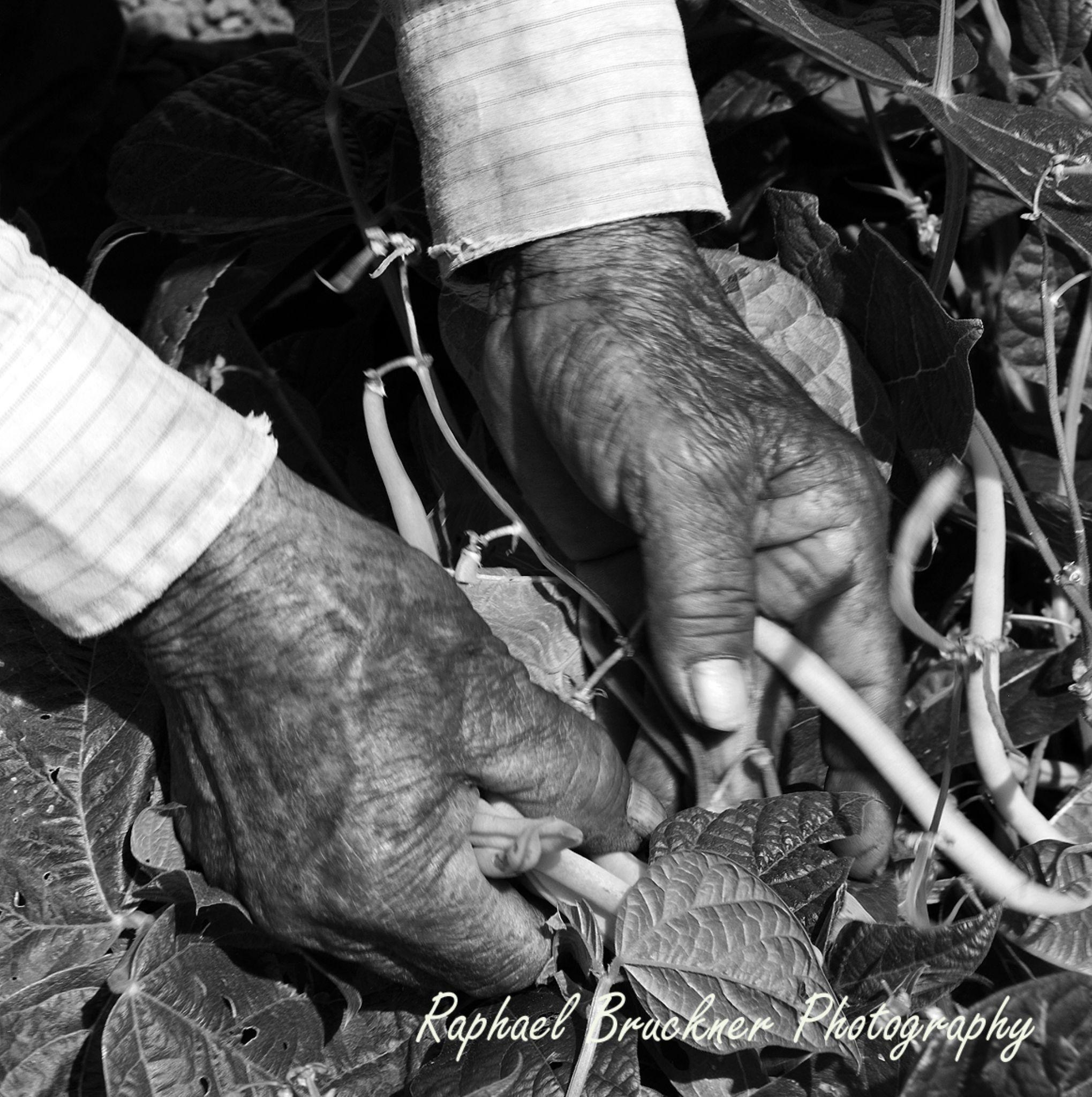 Hands Picking Beans by Raphael Bruckner Photography