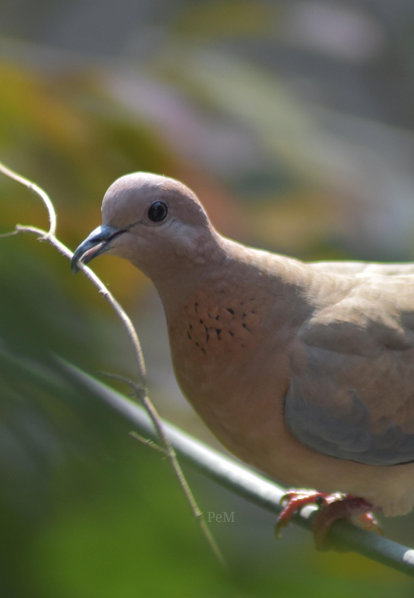 Laughing Dove by Prethyush EM