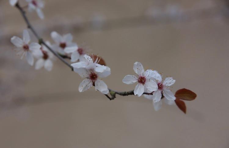 «Les fleurs du printemps sont les rêves  de l'hiver racontés, le matin, à la table des anges.» by Corinne OGNB