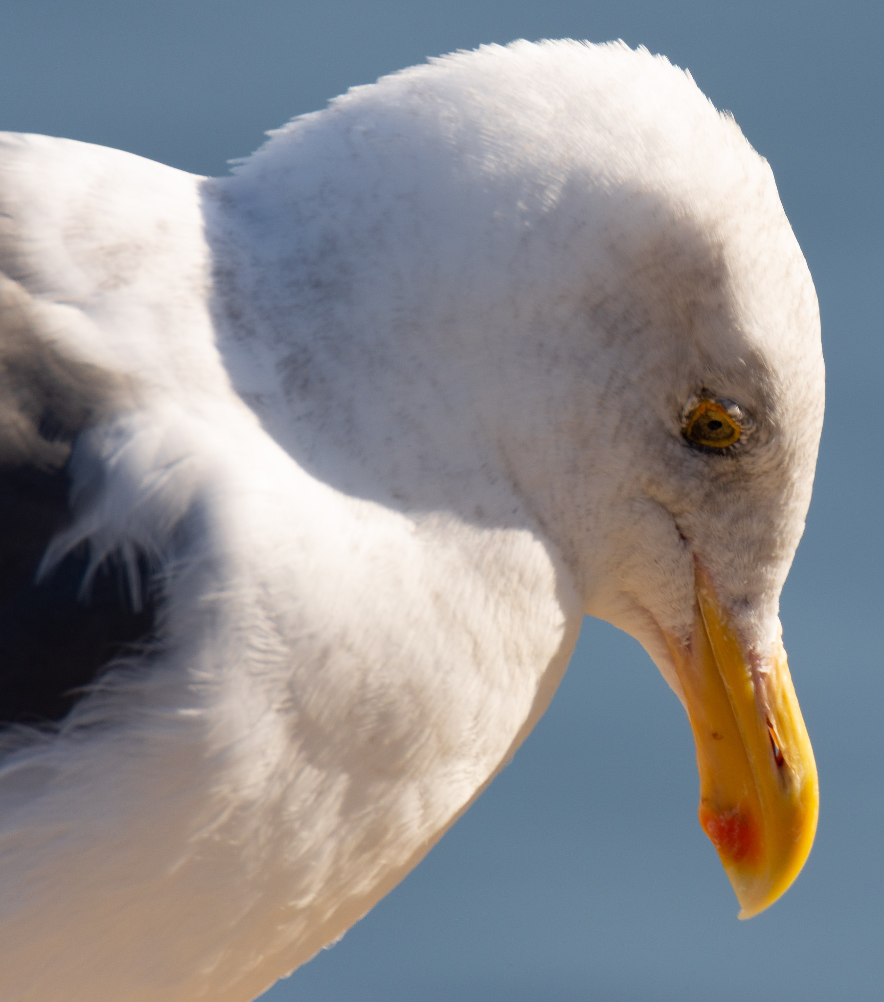 Seagull Head by Michael Sheltzer