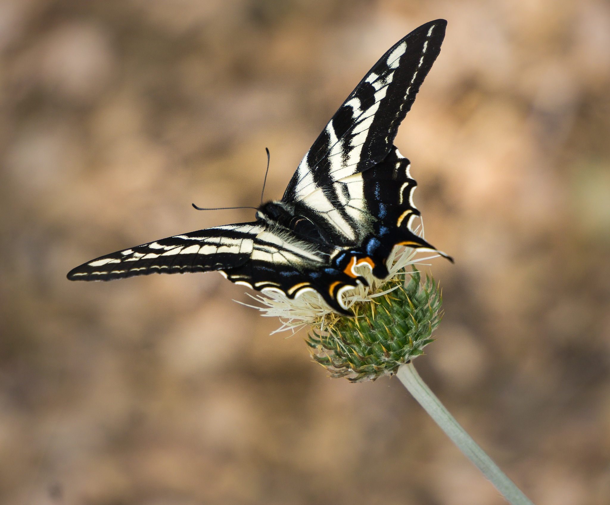 Butterfly on Thistle by Michael Sheltzer