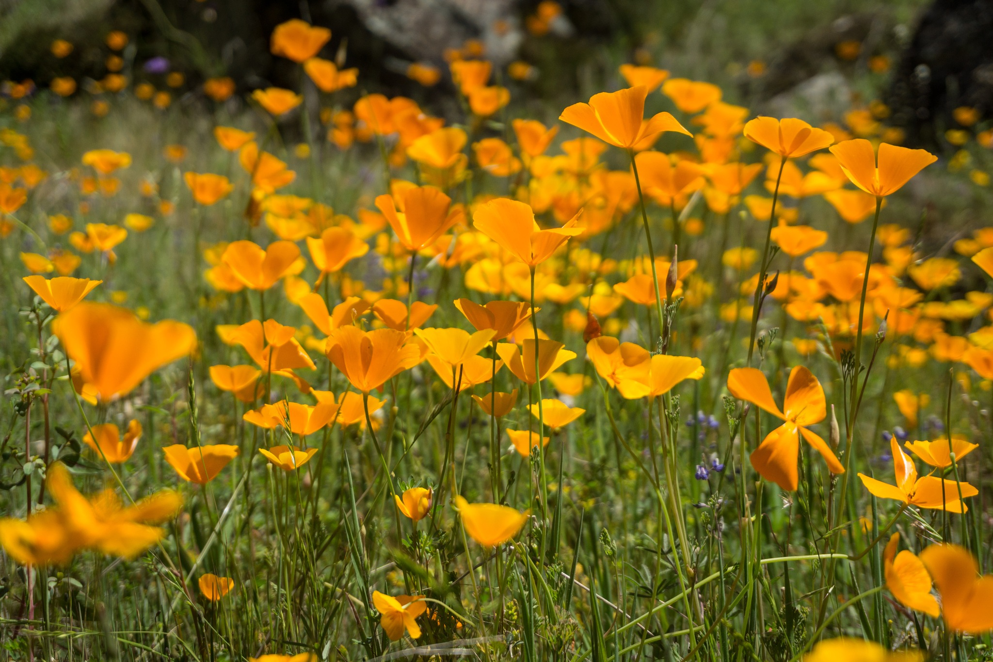 Field of California Poppies by Michael Sheltzer