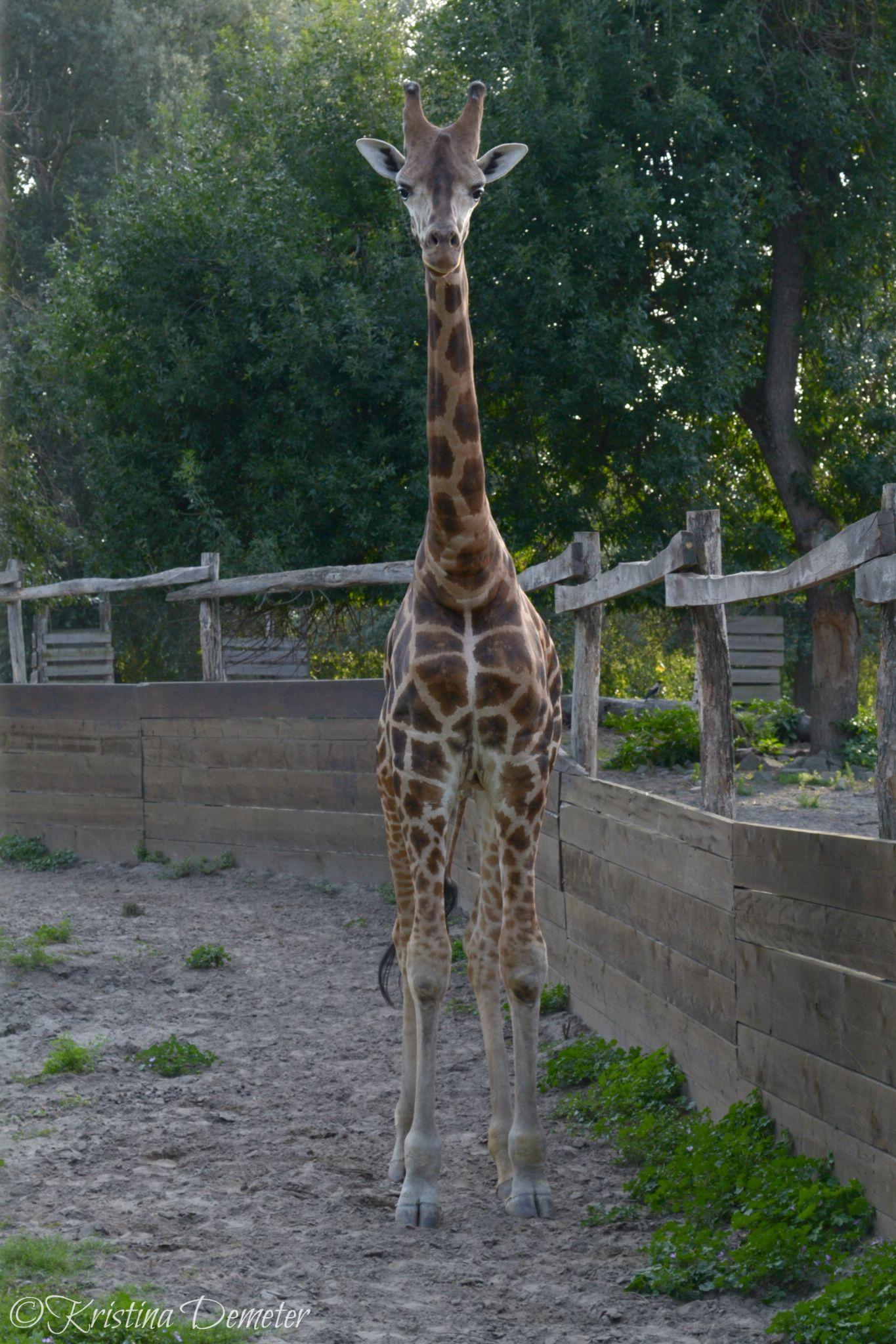 Giraffe by Kristina Demeter